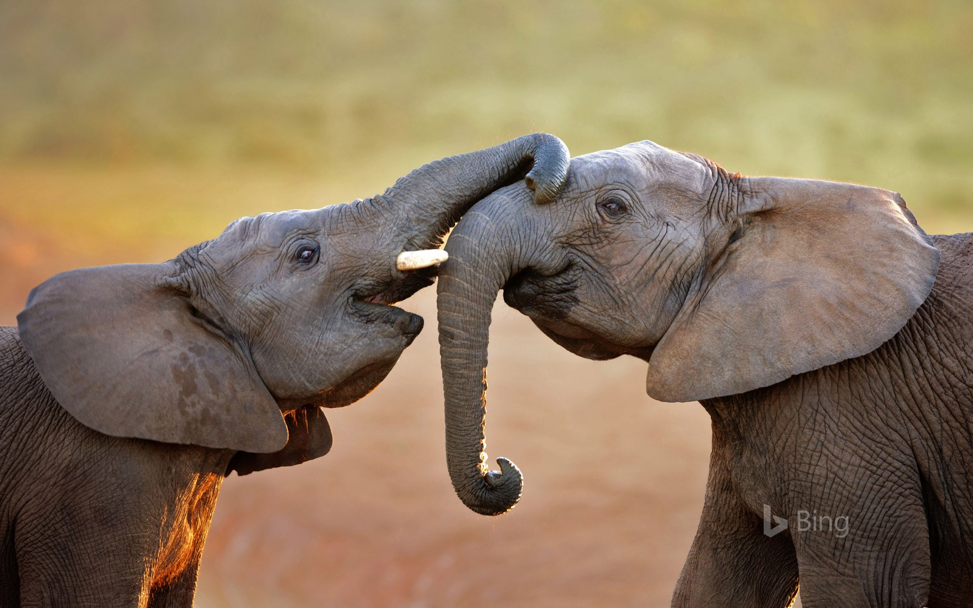 Elephants in Addo Elephant National Park, South Africa