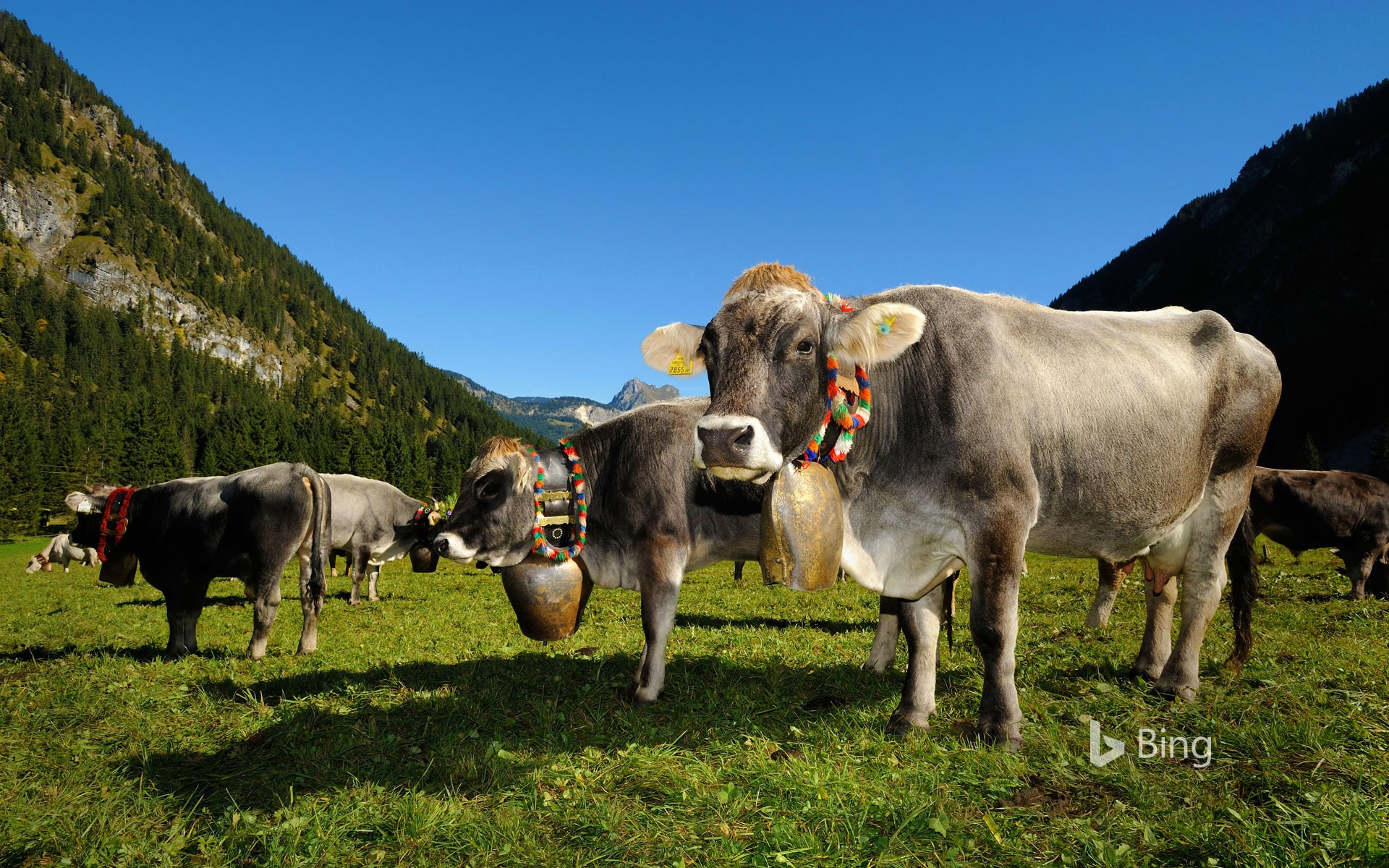 Cows in Tannheimer Tal, a high valley in Tyrol, Austria