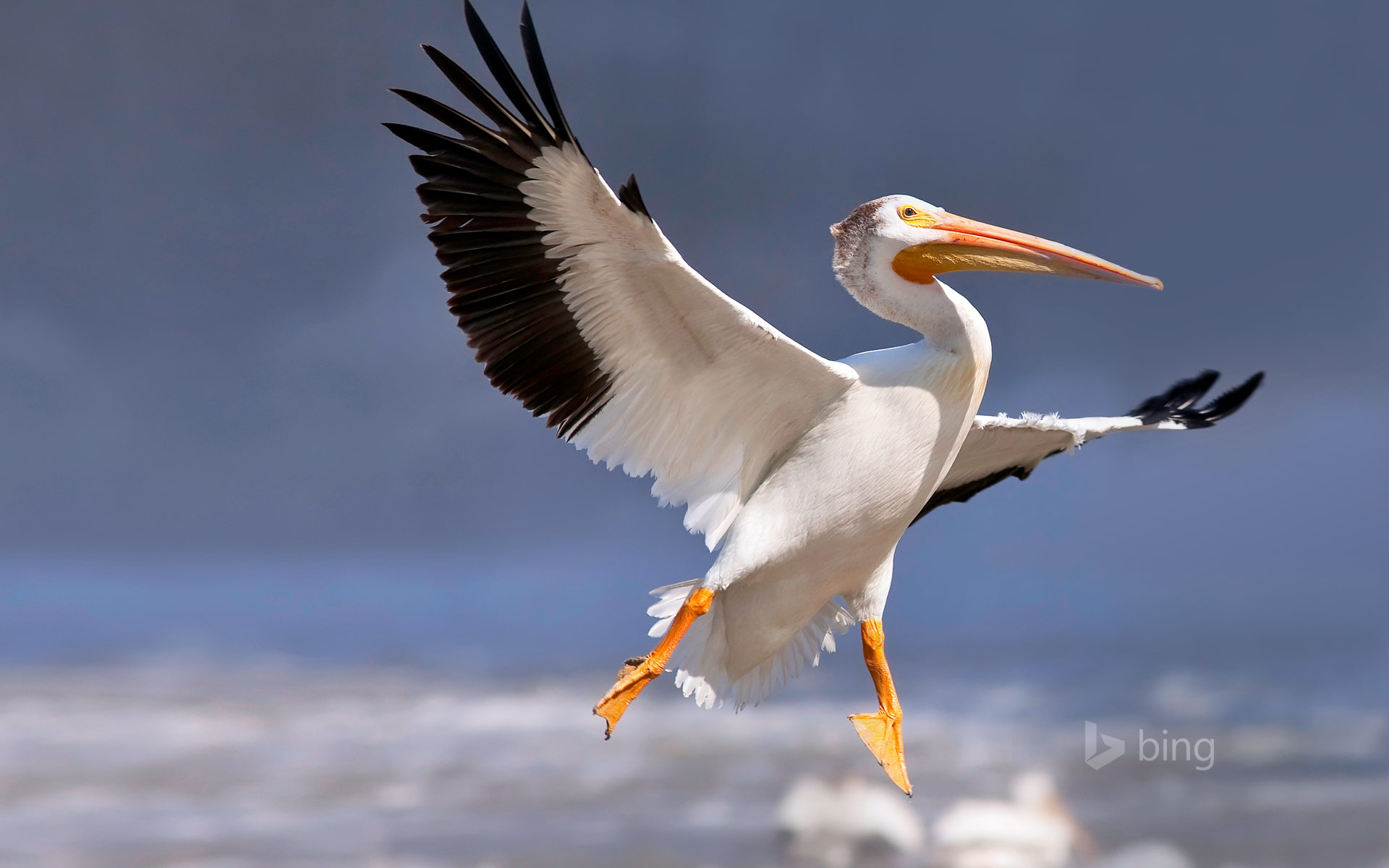 American white pelican in flight, Red River, Lockport, Manitoba, Canada