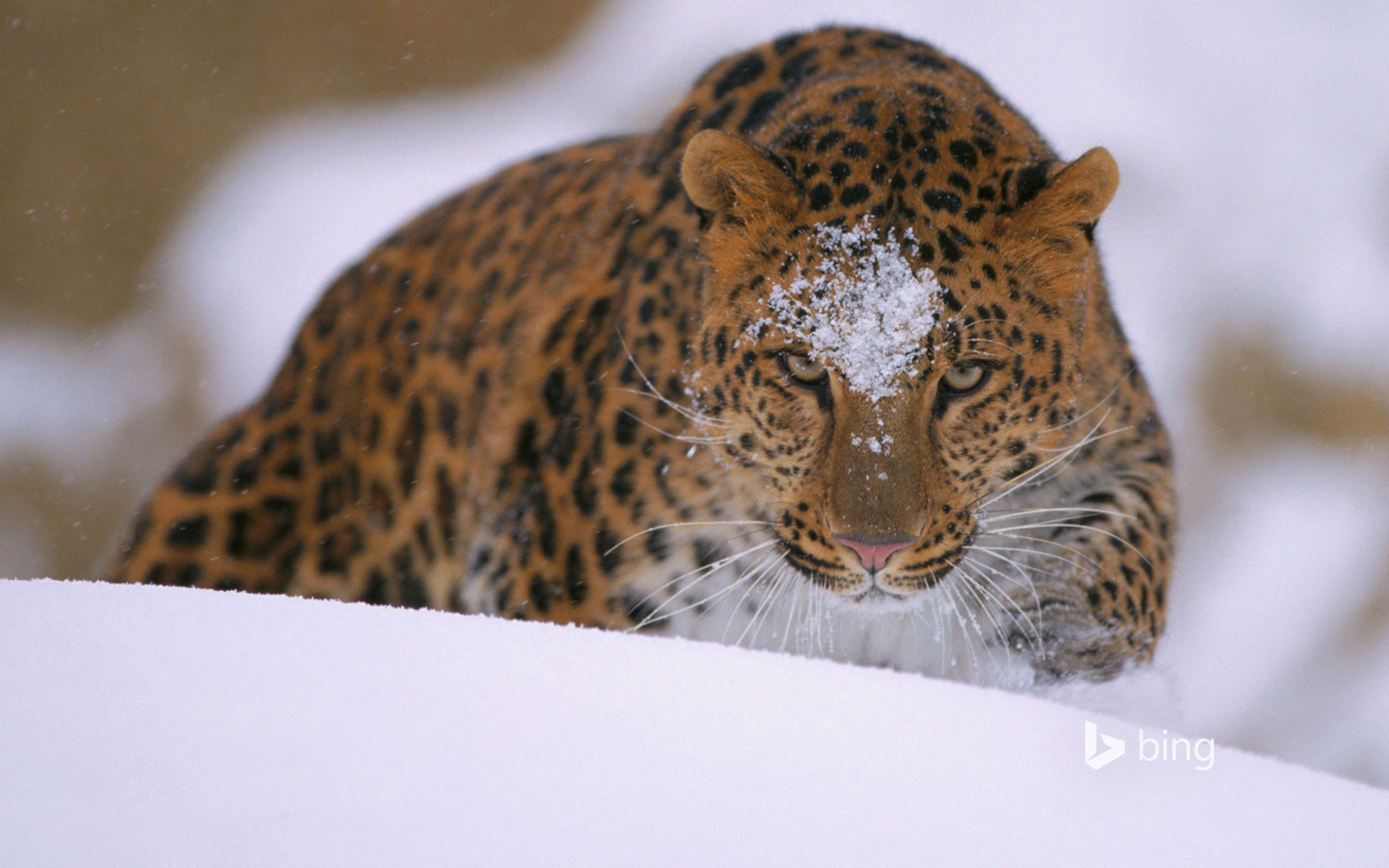 A rare amur leopard peers over a snowy embankment