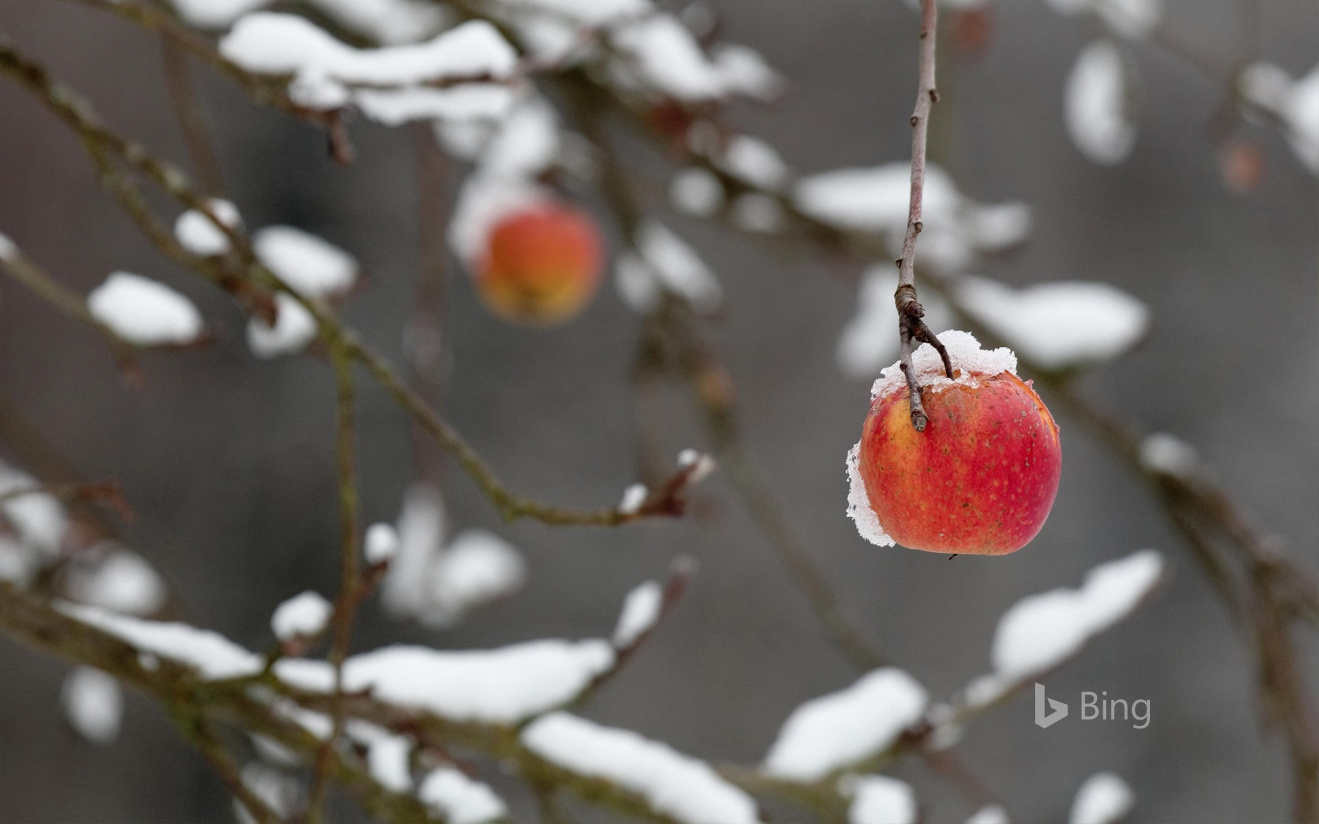 A red apple clings to a broken branch heavy with snow, Coburg, Bavaria, Germany