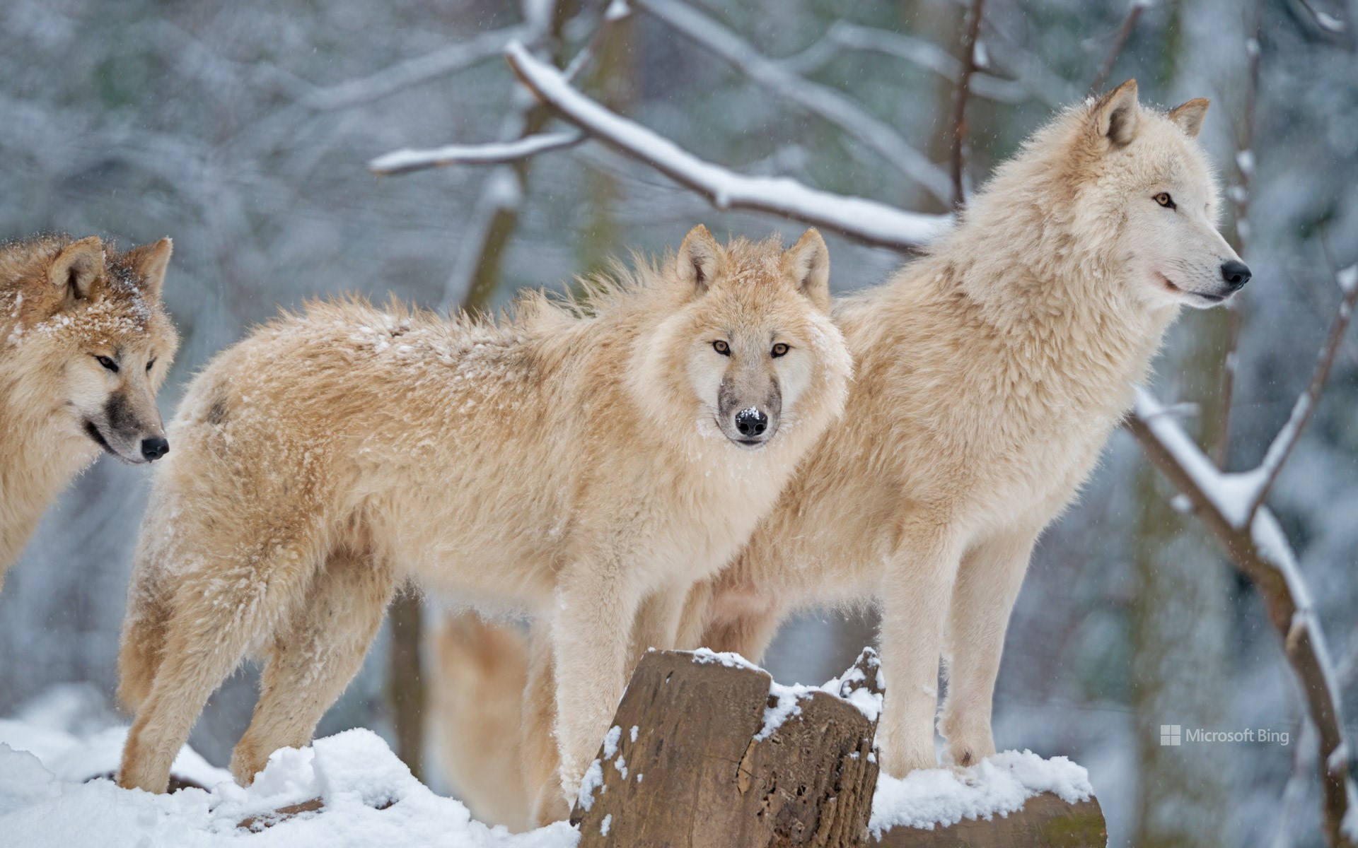 Arctic wolf family in Canada