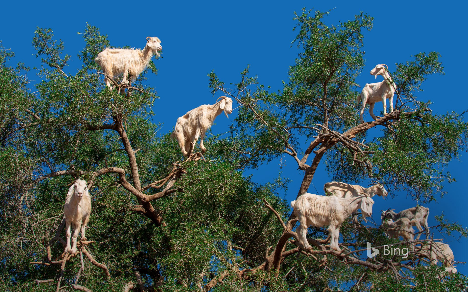 Goats in an argan tree near Essaouira, Morocco