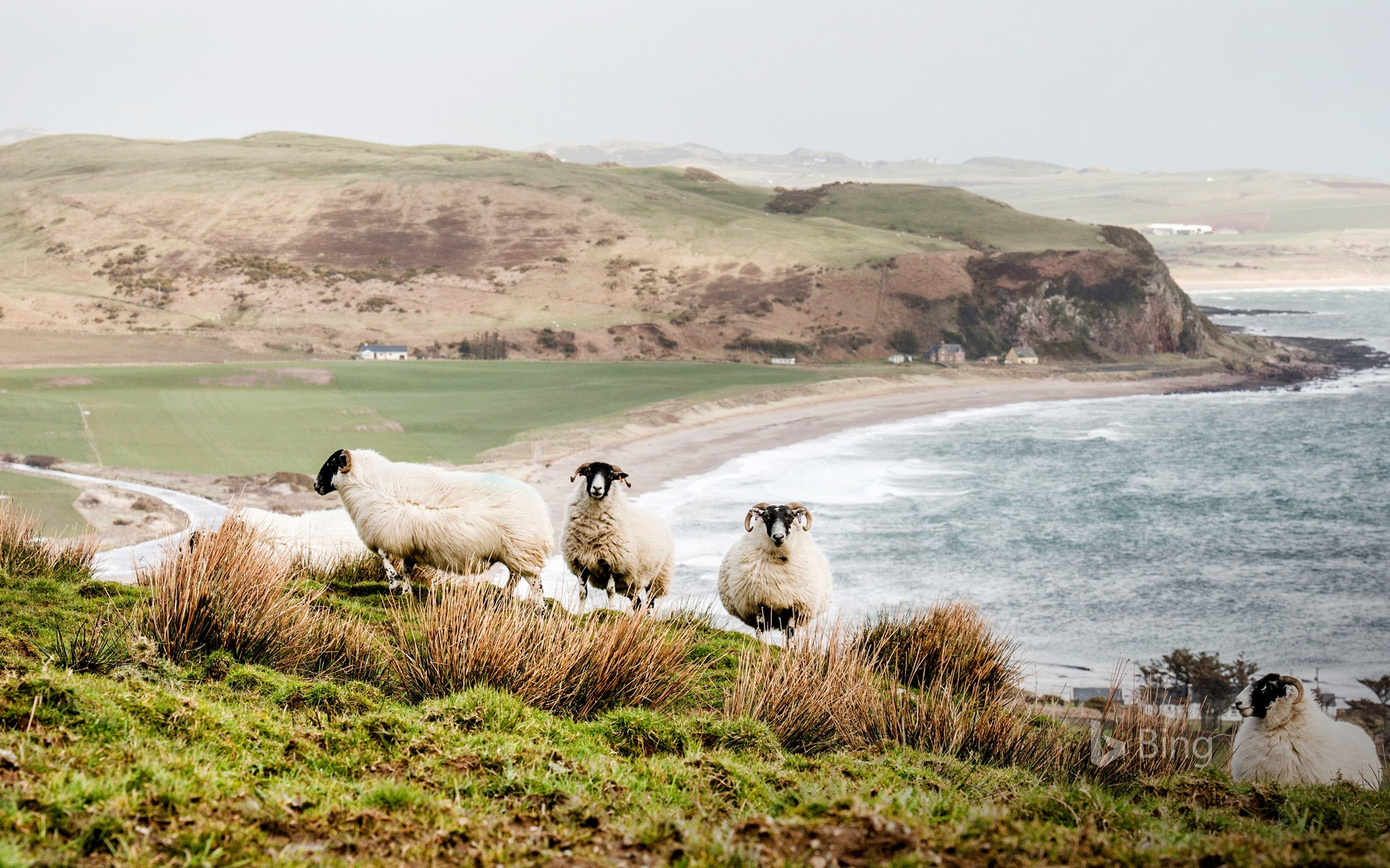 Sheep on the coast in the Scottish Highlands