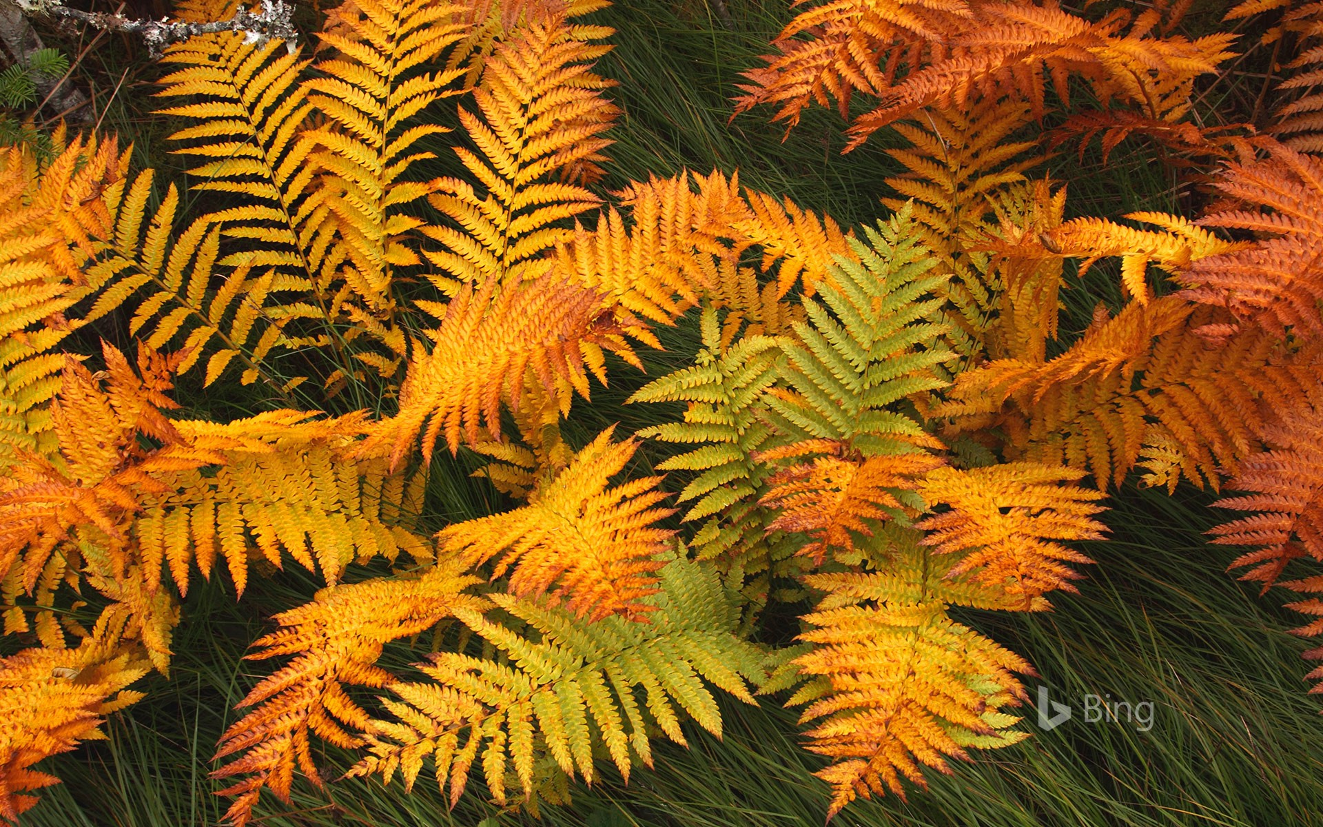 Fern fronds in autumn, Gros Morne National Park, Newfoundland, Canada