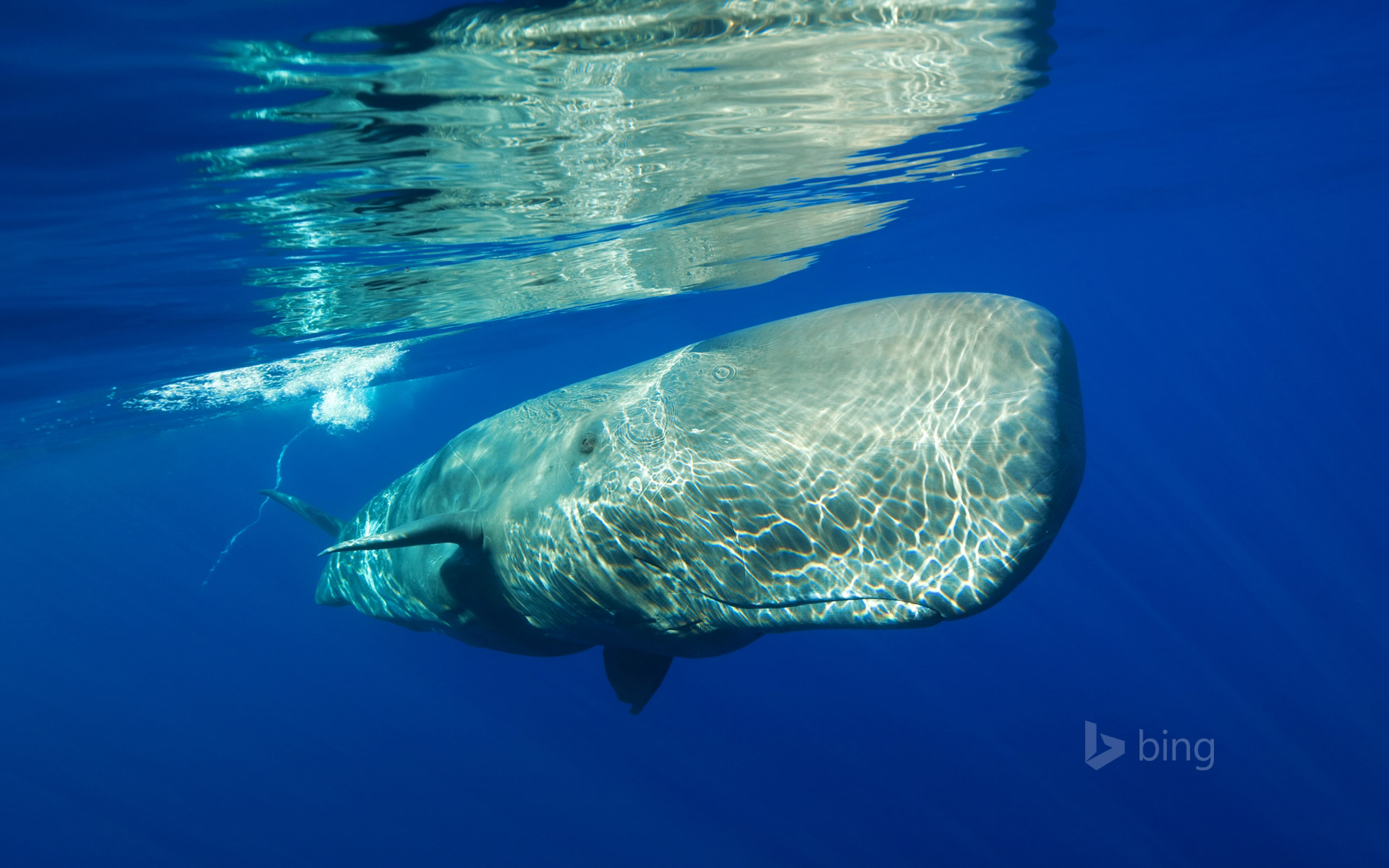 Sperm whale off the coast of the Azores, Portugal