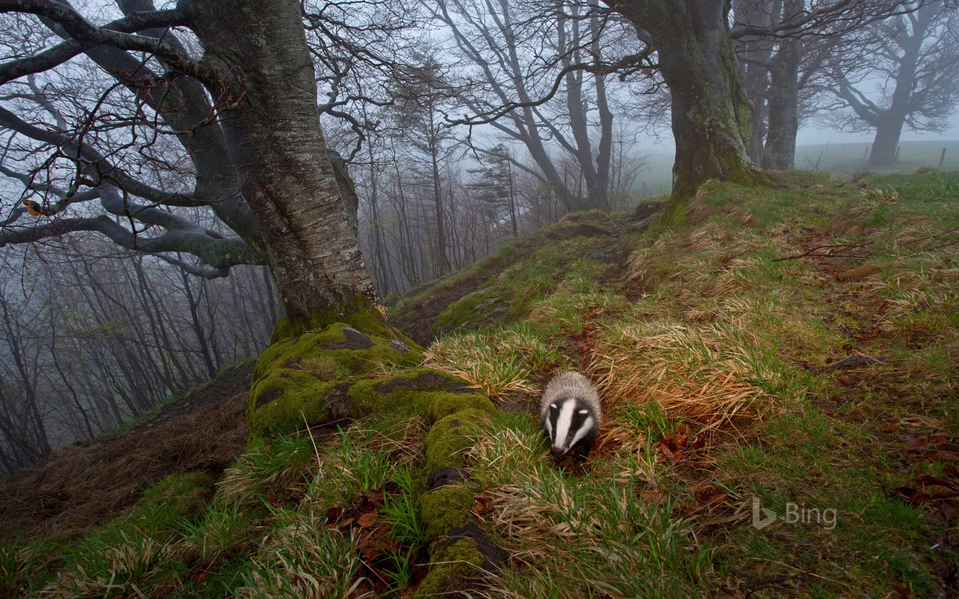 A badger foraging in the Black Forest, Germany (© Klaus Echle/Minden Pictures)