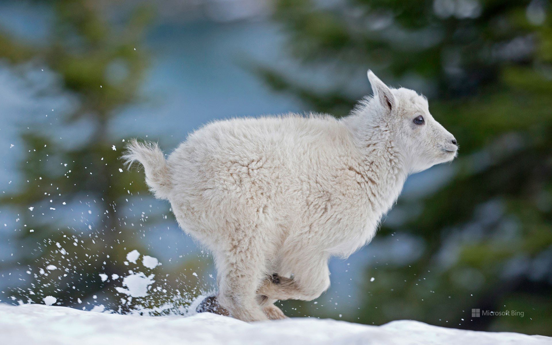 Mountain goat kid in western Montana