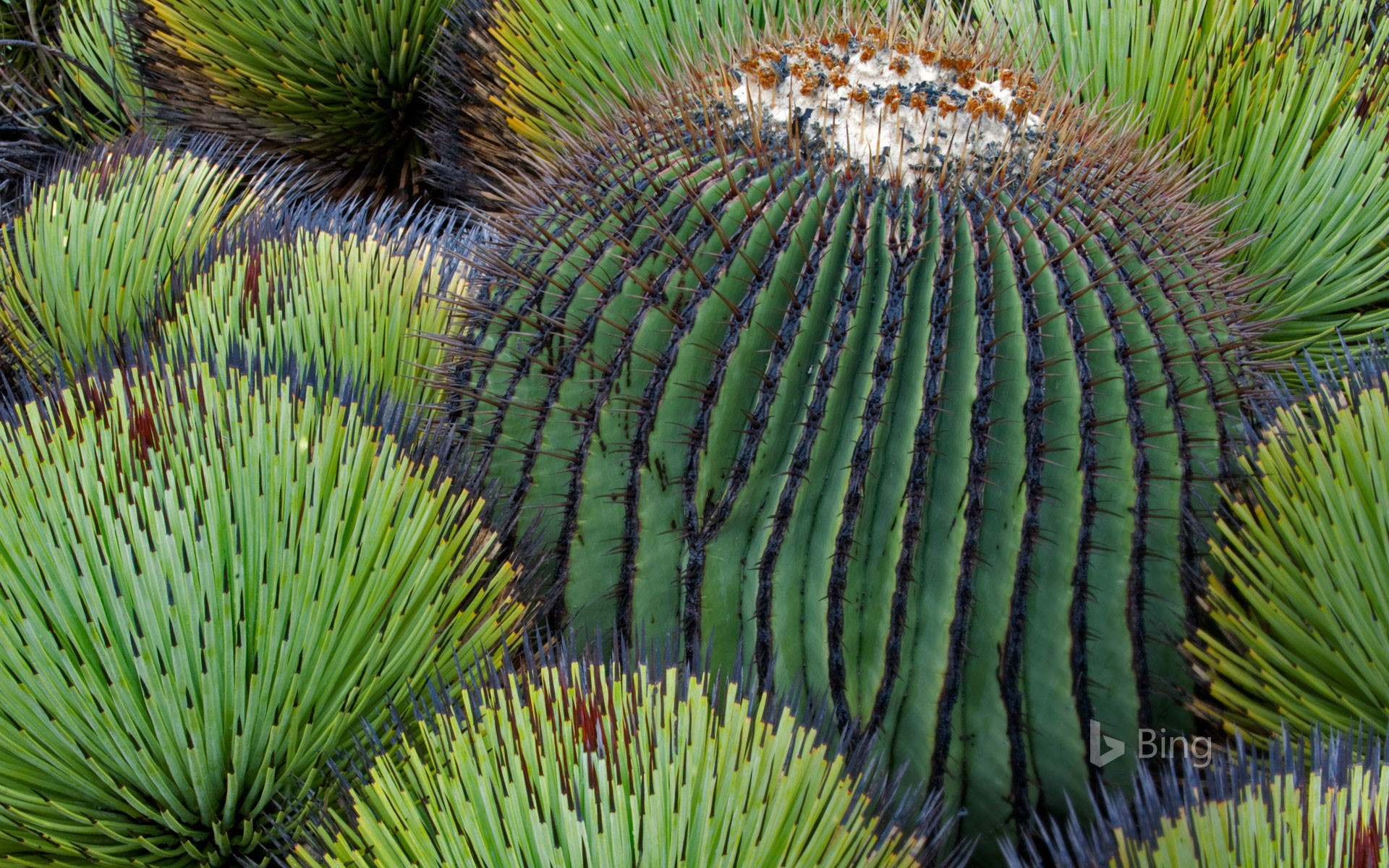 A giant barrel cactus and yucca plants in the Chihuahuan Desert, Mexico
