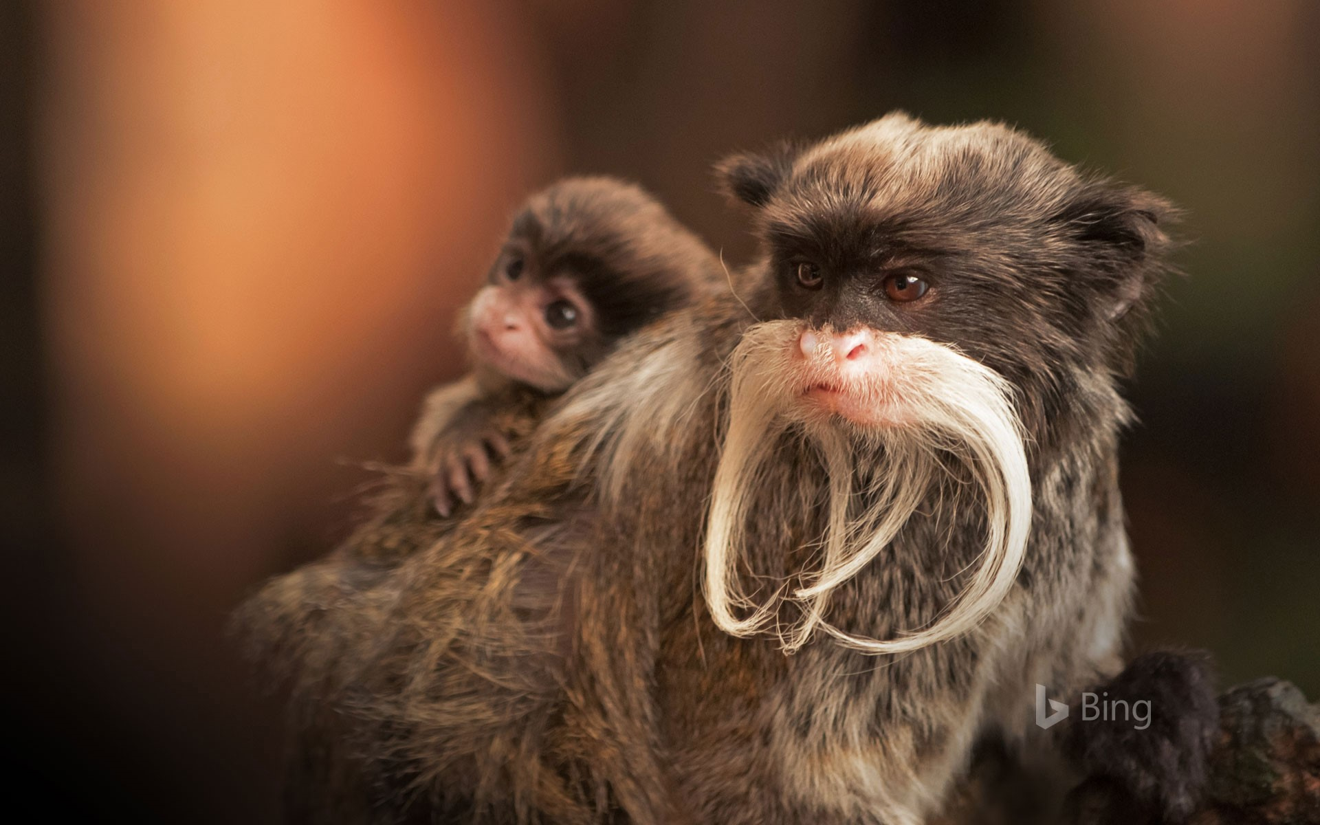 A bearded emperor tamarin monkey carrying a baby