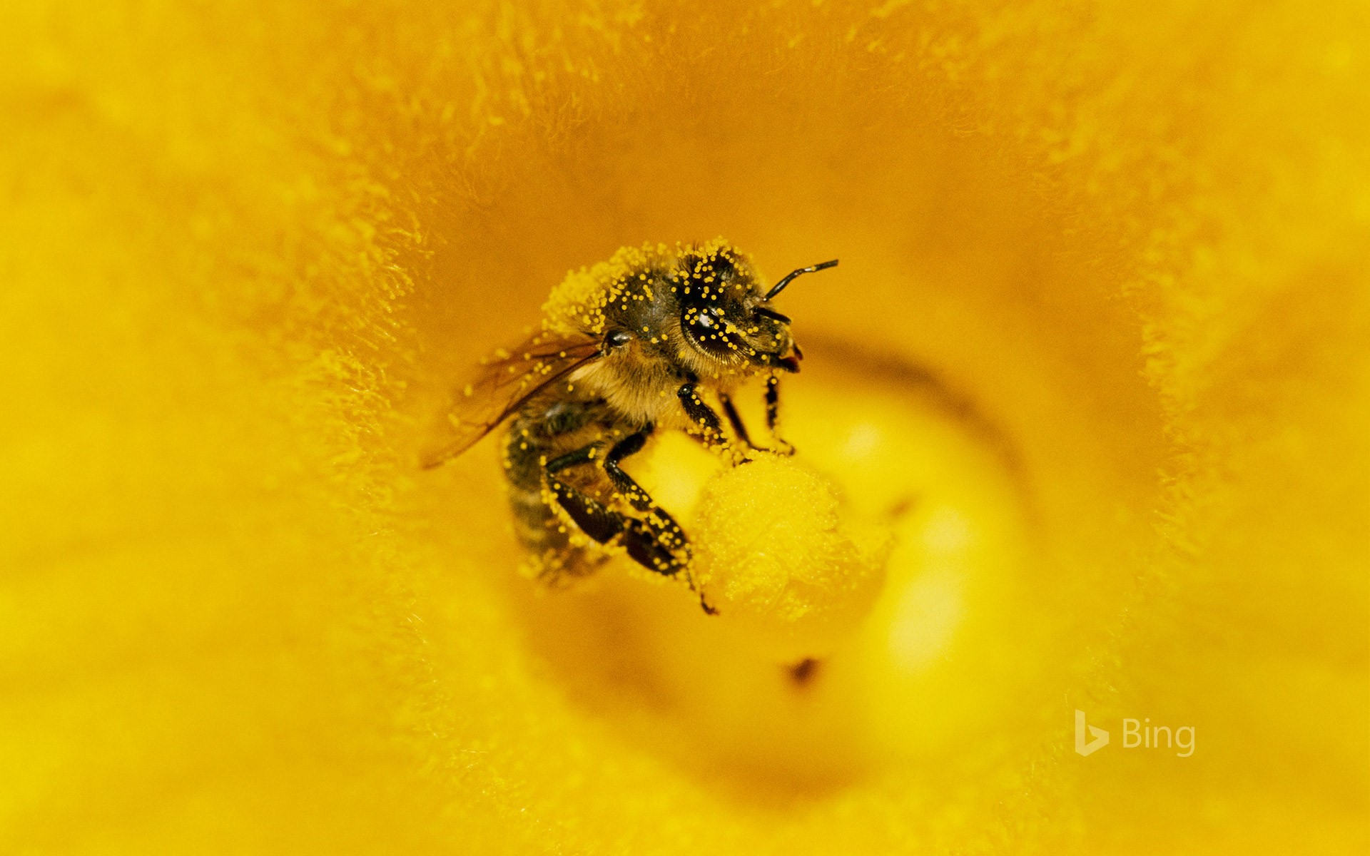 A honey bee (Apis mellifera) covered in pollen in pumpkin, Germany