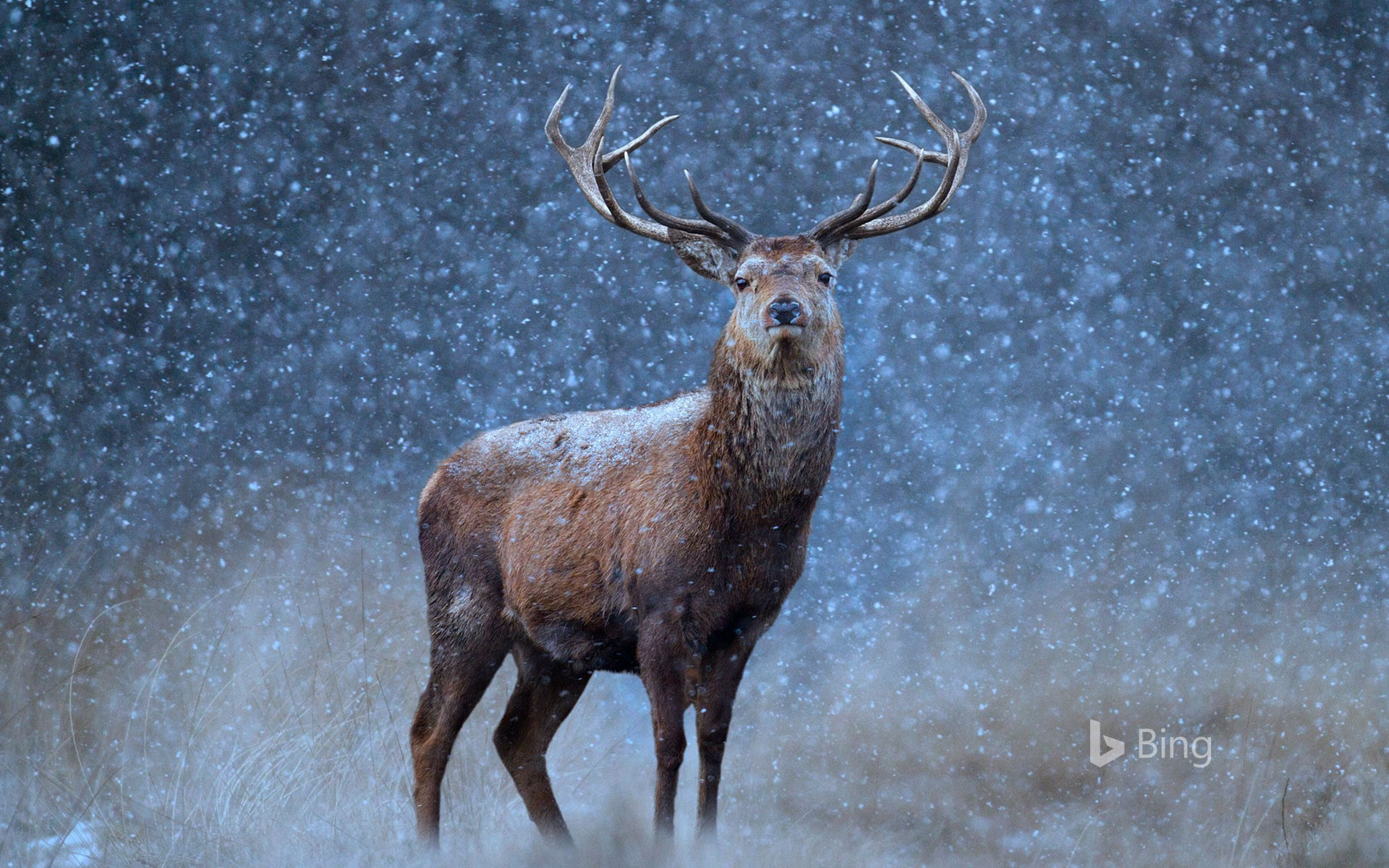 A red deer in the snow