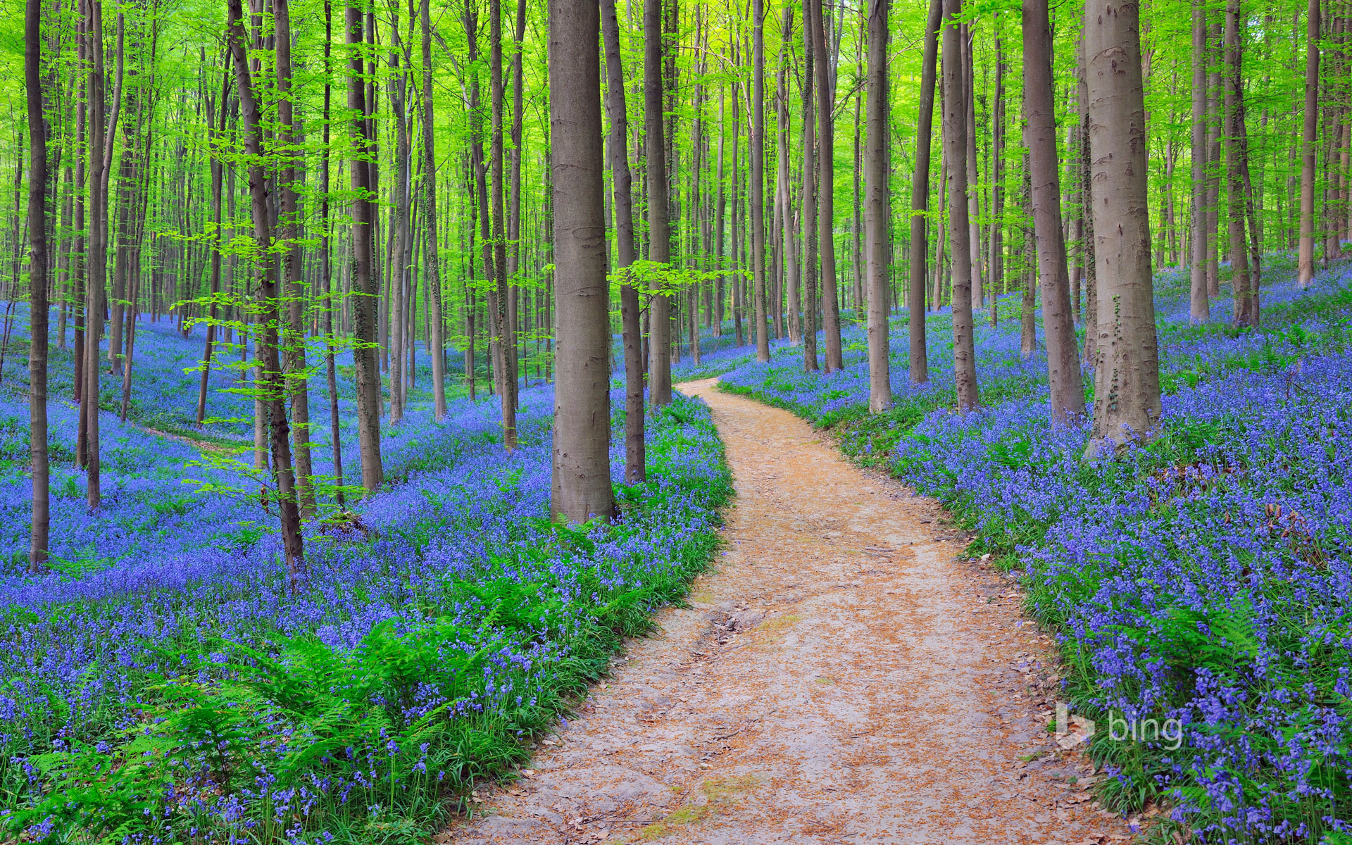Bluebells in the Halle Forest near Halle, Belgium