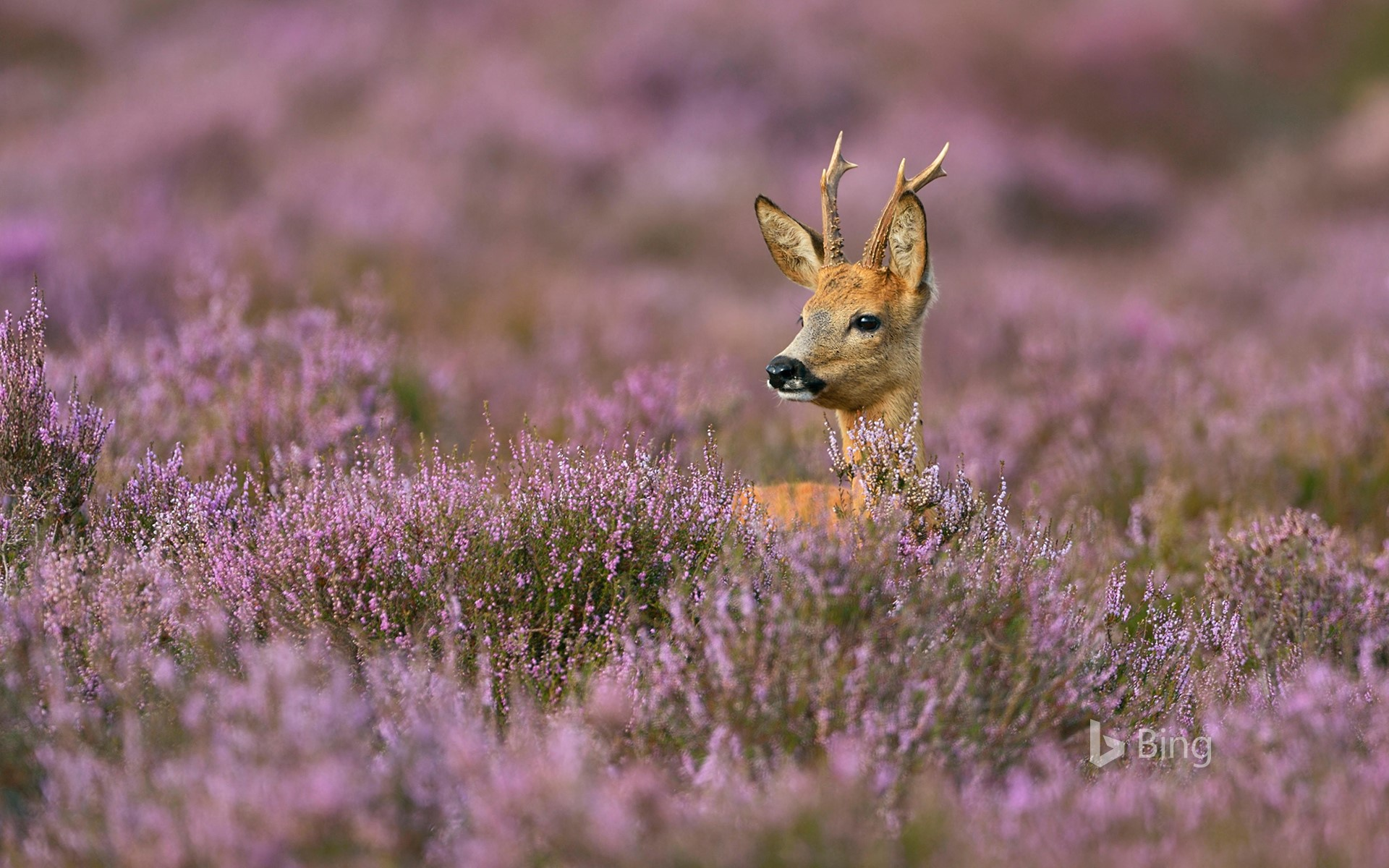 Male roe deer surrounded by heather (© wonderful-Earth.net/Alamy Stock Photo)