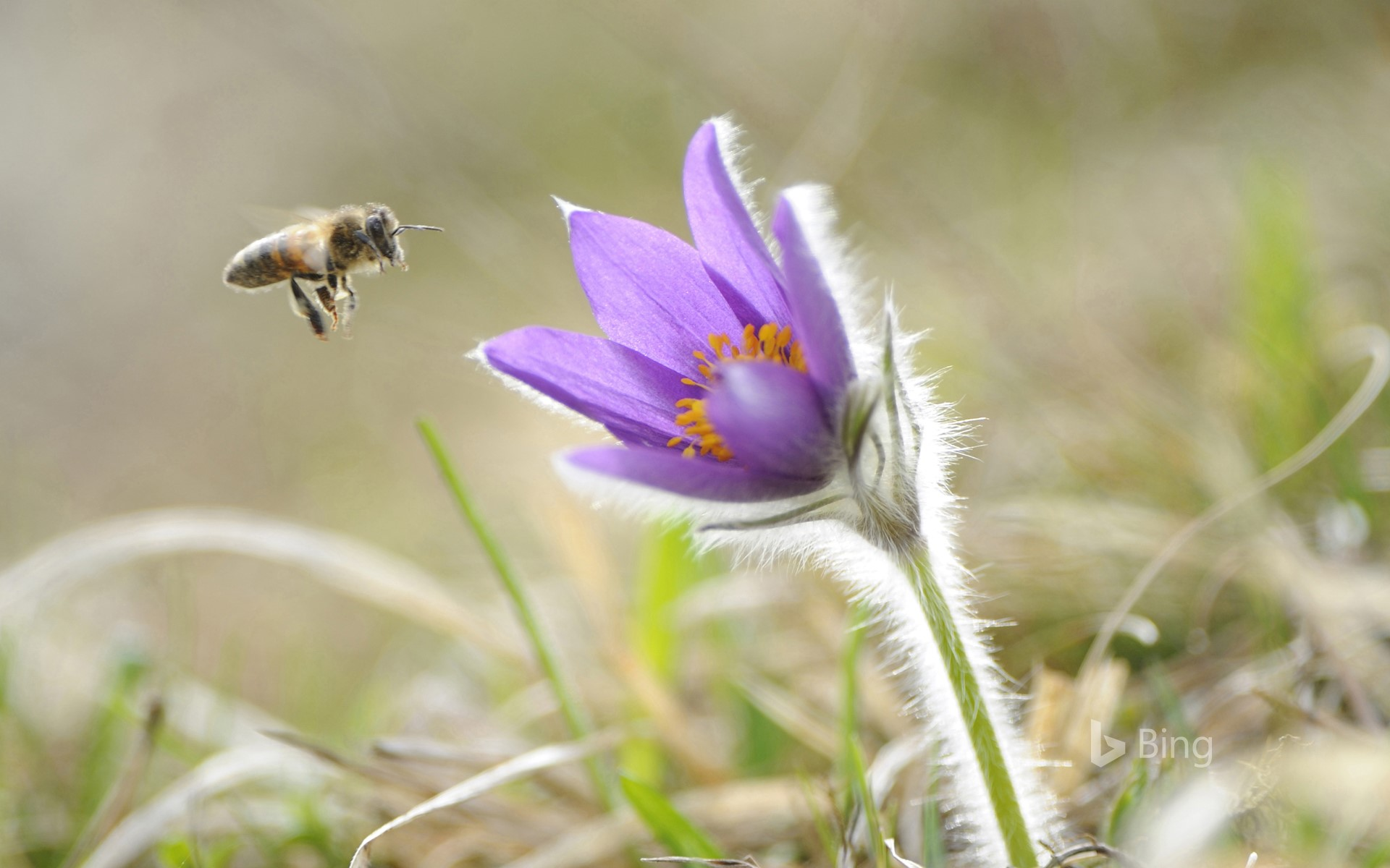 Honeybee approaching the flower of a common pasque flower (Pulsatilla vulgaris), Upper Palatinate, Bavaria, Germany