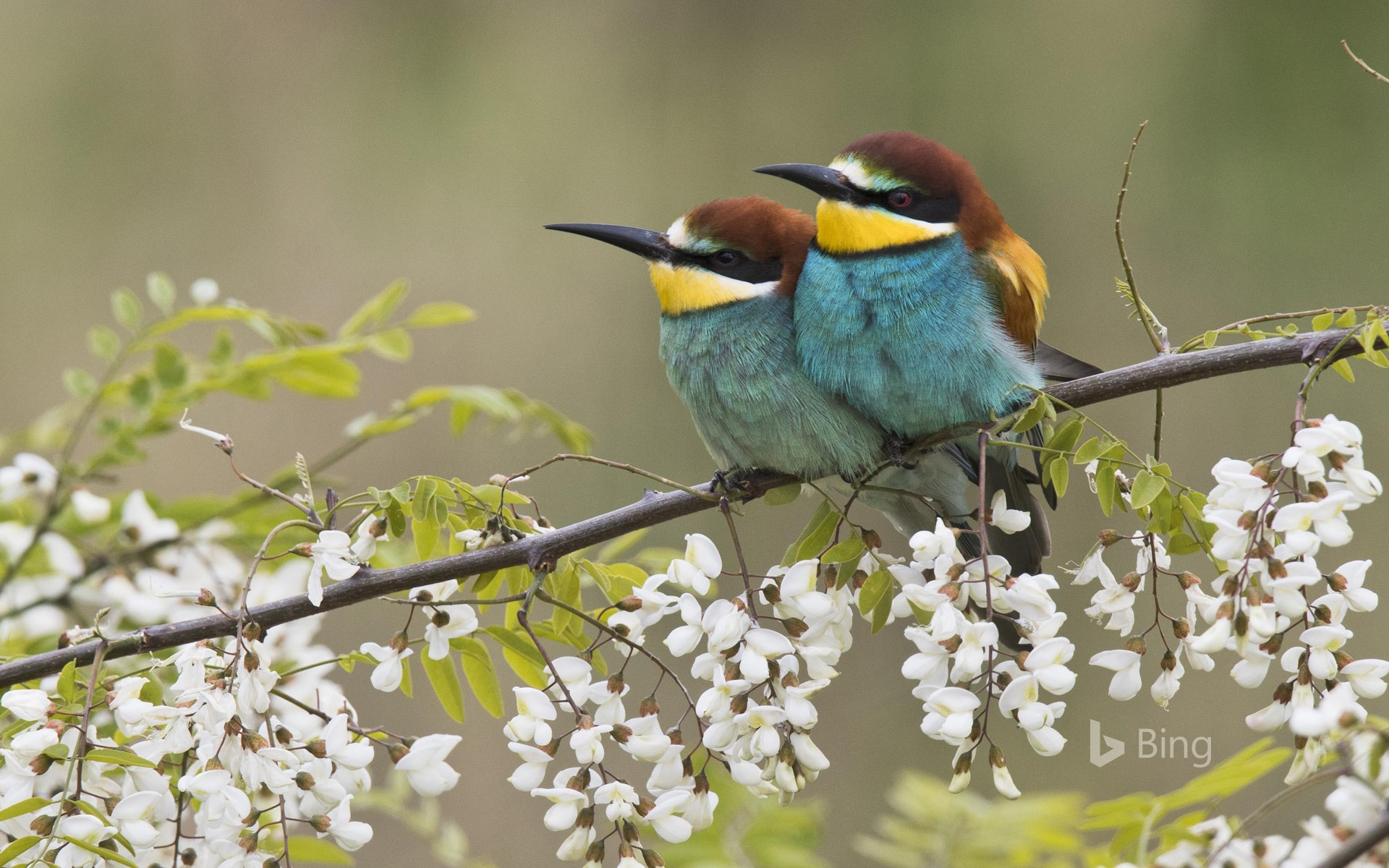 Bee-eater pair on the branch of a flowering robinia, Rhineland-Palatinate, Germany