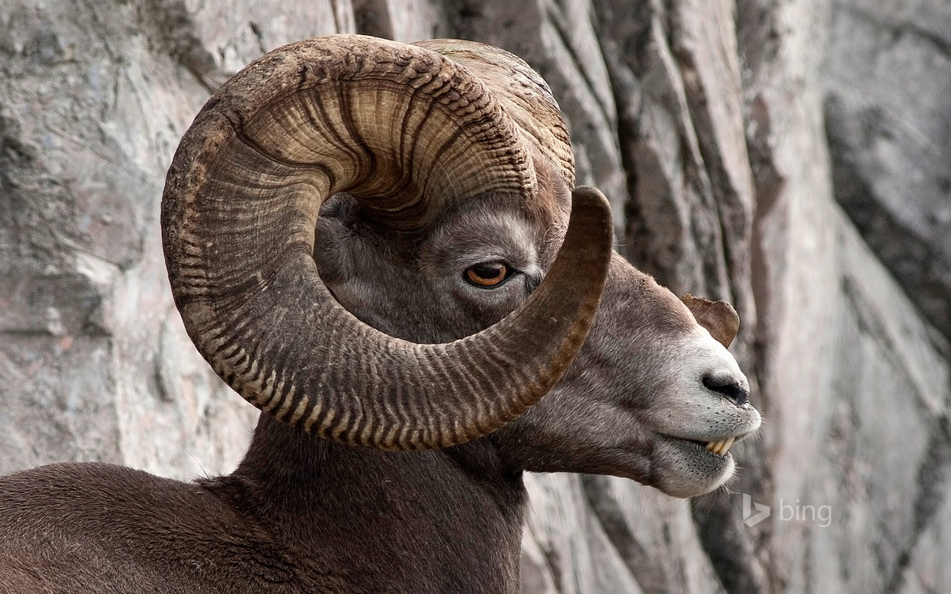 Rocky Mountain bighorn sheep in Kananaskis Country, Alberta, Canada