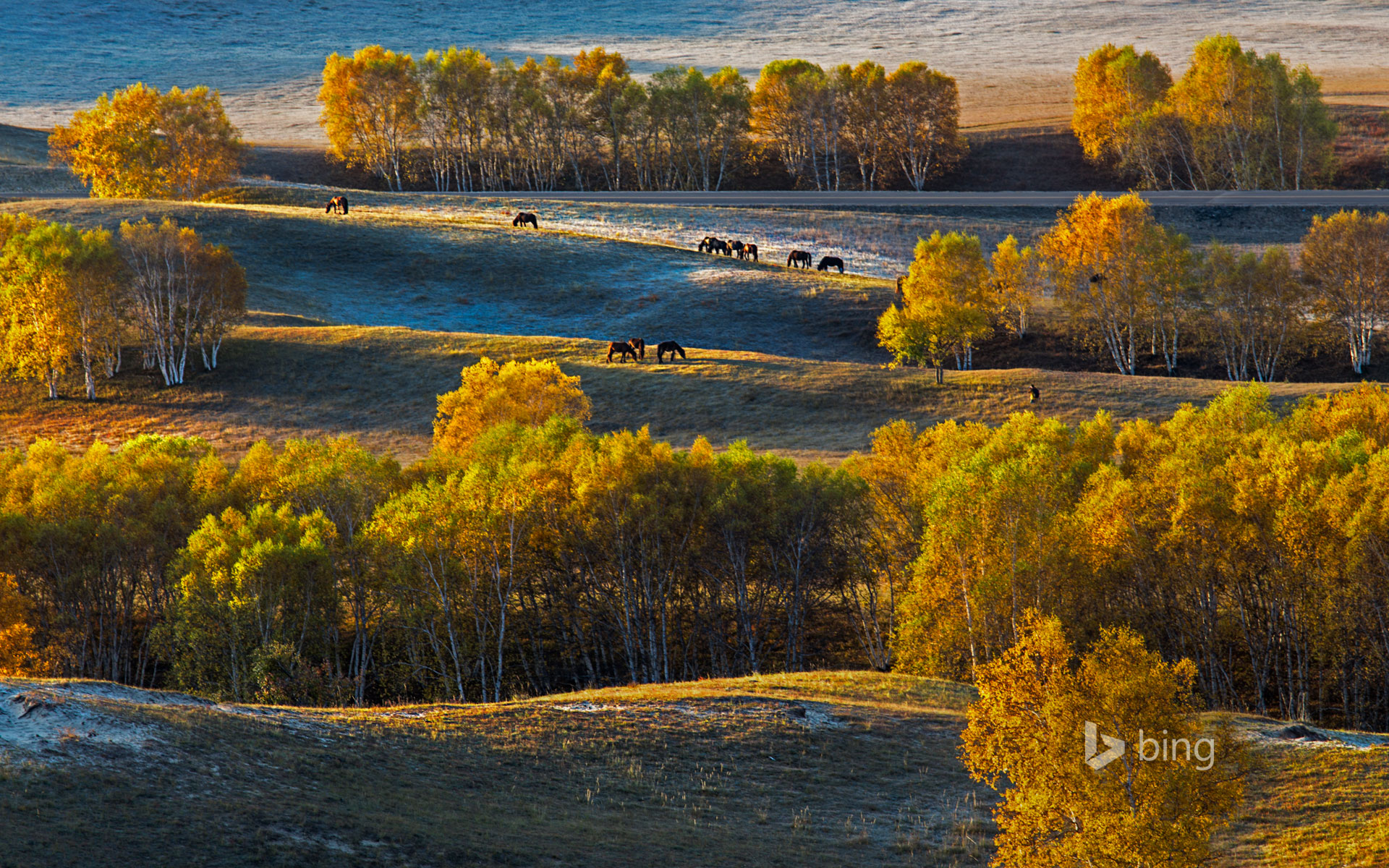 Birch trees on the Bashang Plateau, China