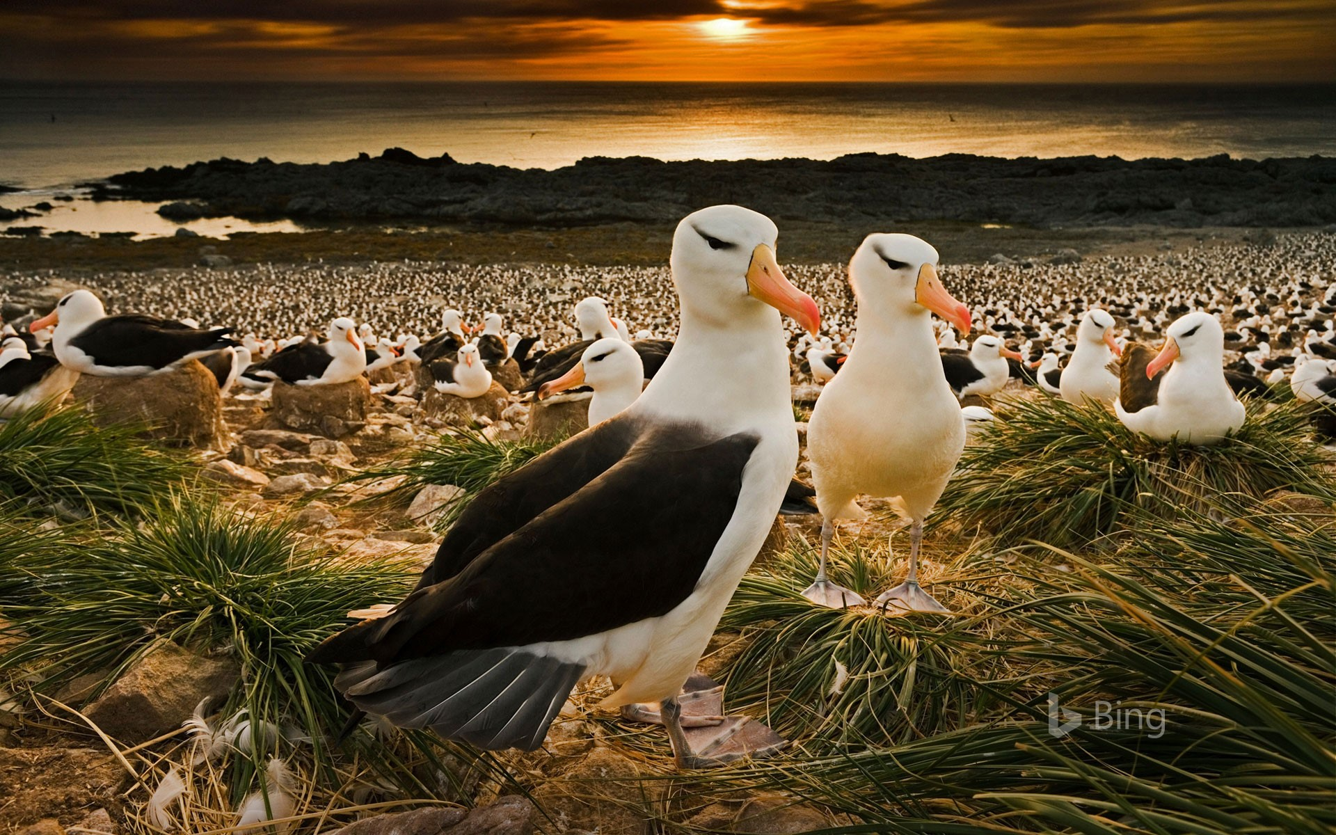 Black-browed albatrosses in the Falkland Islands