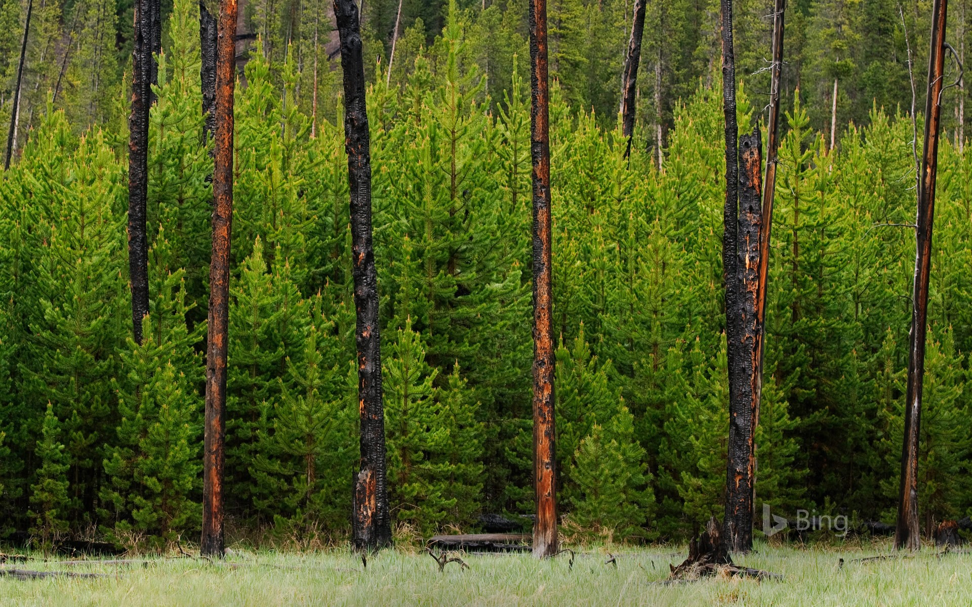 Young trees grow amid trees burned in the 1988 fire in Yellowstone National Park, Wyoming