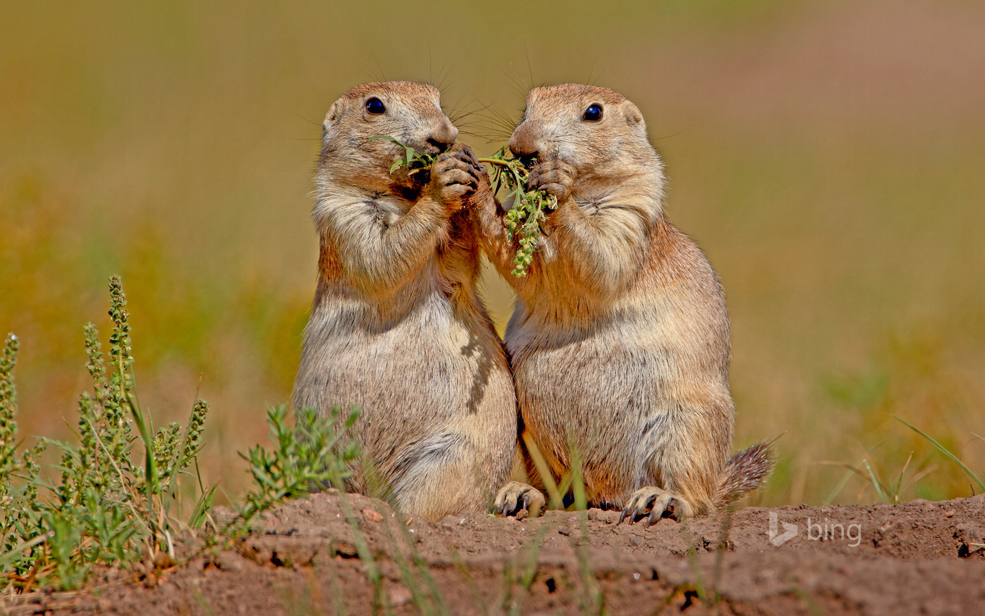 Black-tailed prairie dogs in Wind Cave National Park, South Dakota, USA