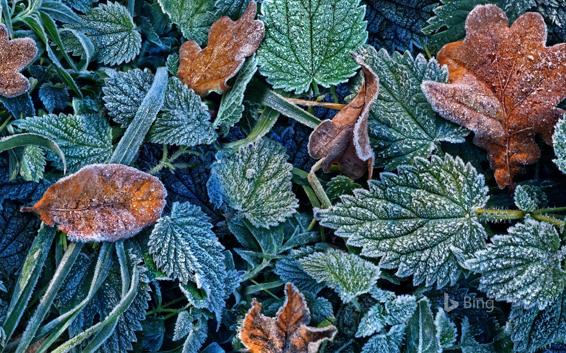Leaves with hoarfrost in the Black Forest, Freiburg, Baden-Württemberg, Germany