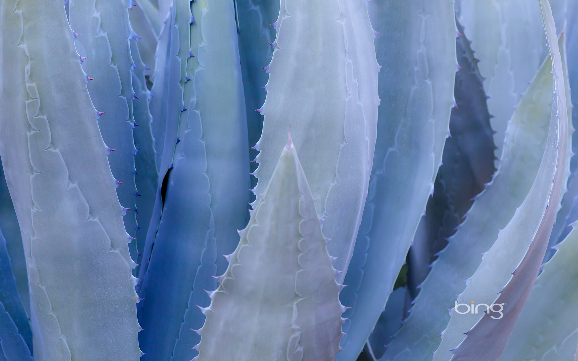Close-up of a blue agave plant