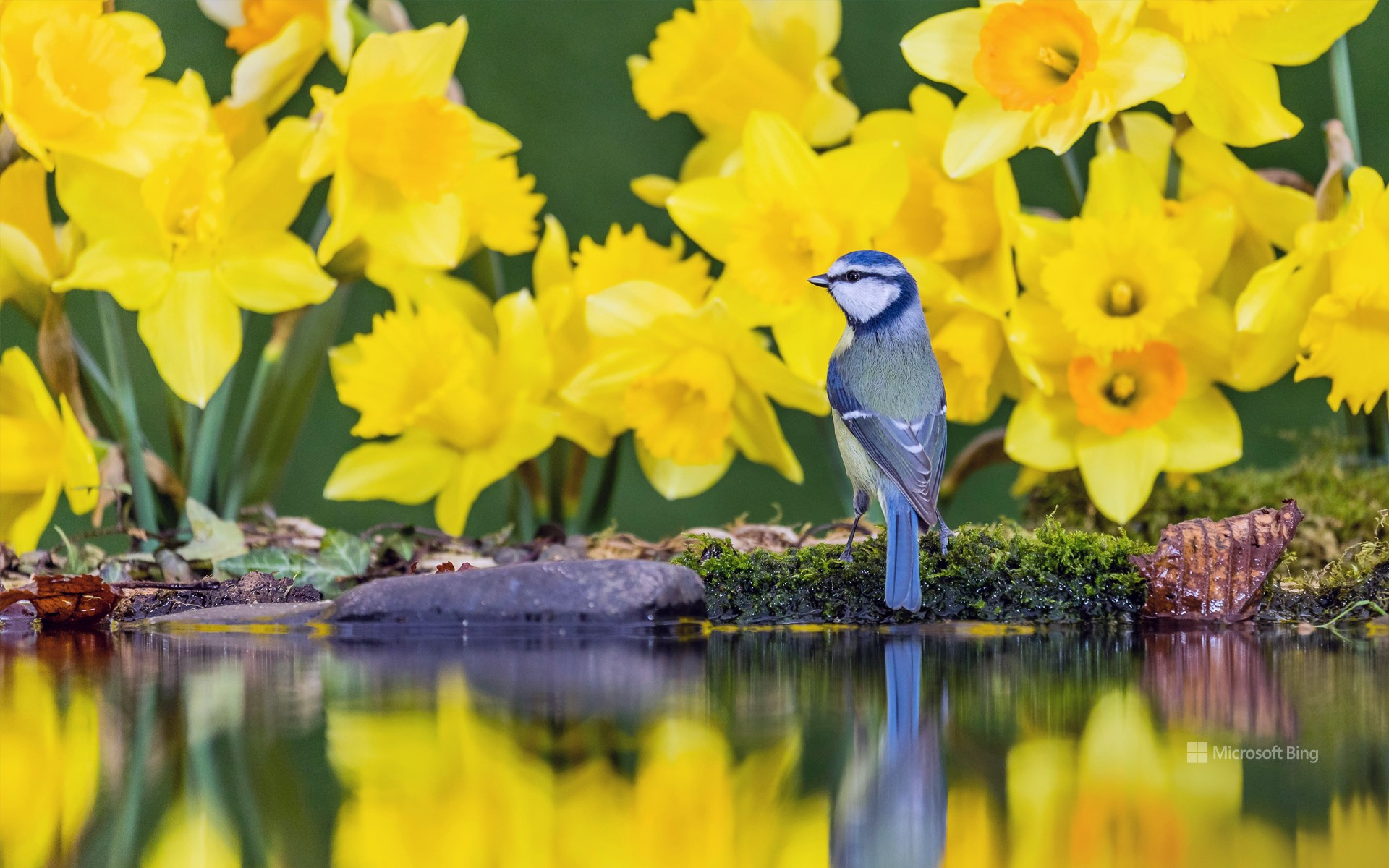 A blue tit amongst daffodils in Mid Wales, United Kingdom