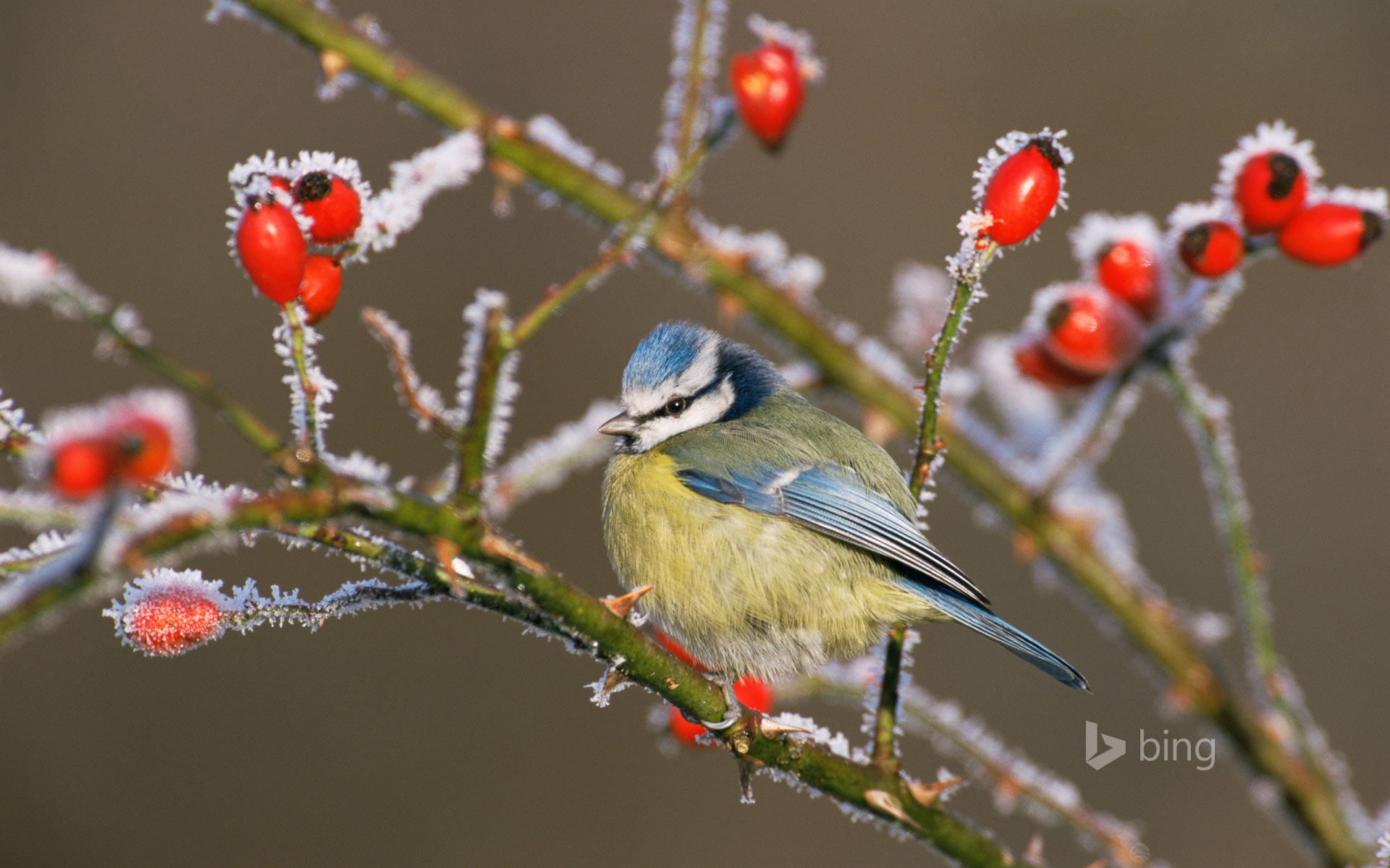 Blue tit (Parus caeruleus) and rose hips in winter frost