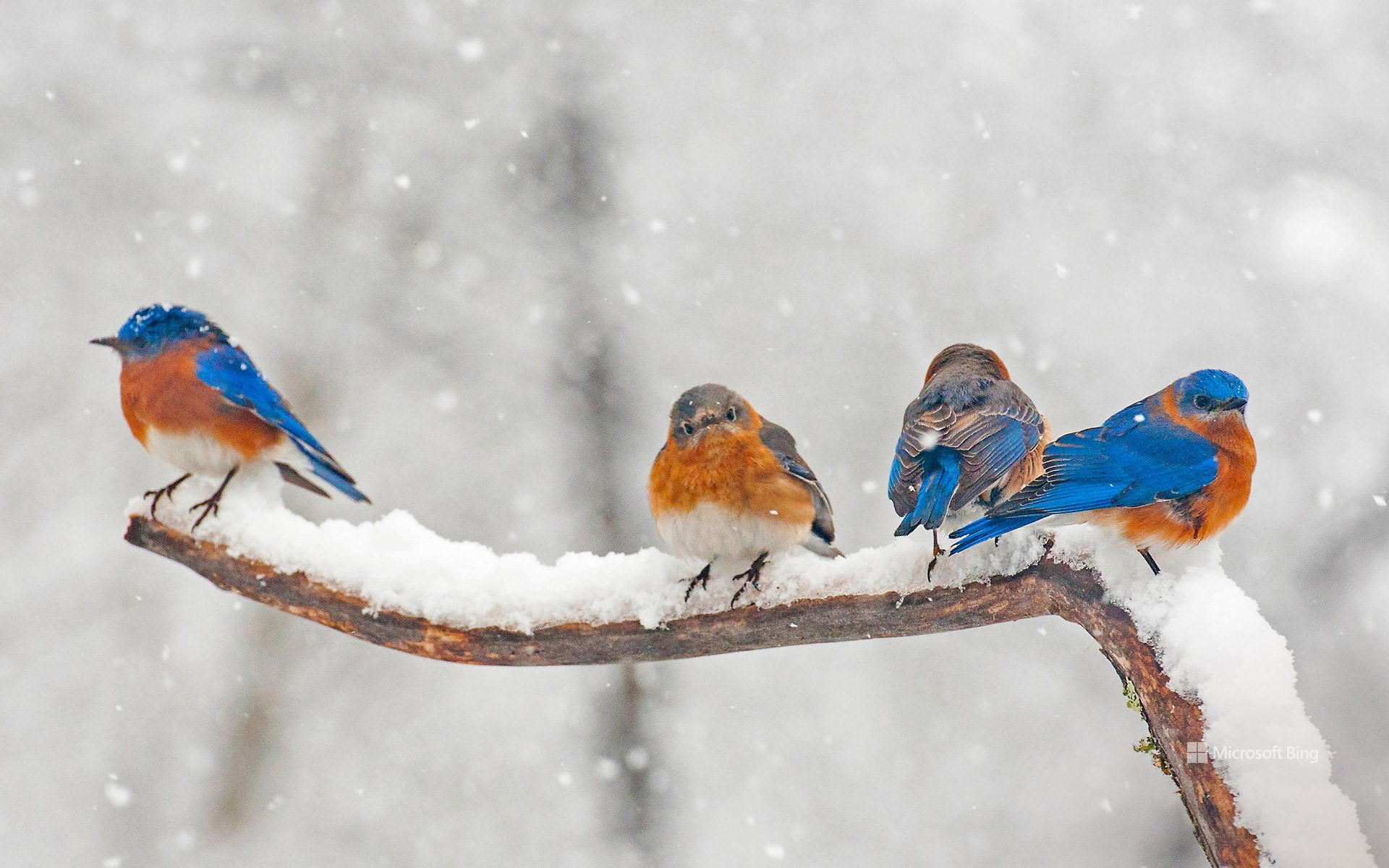 Eastern bluebirds in Charlotte, North Carolina