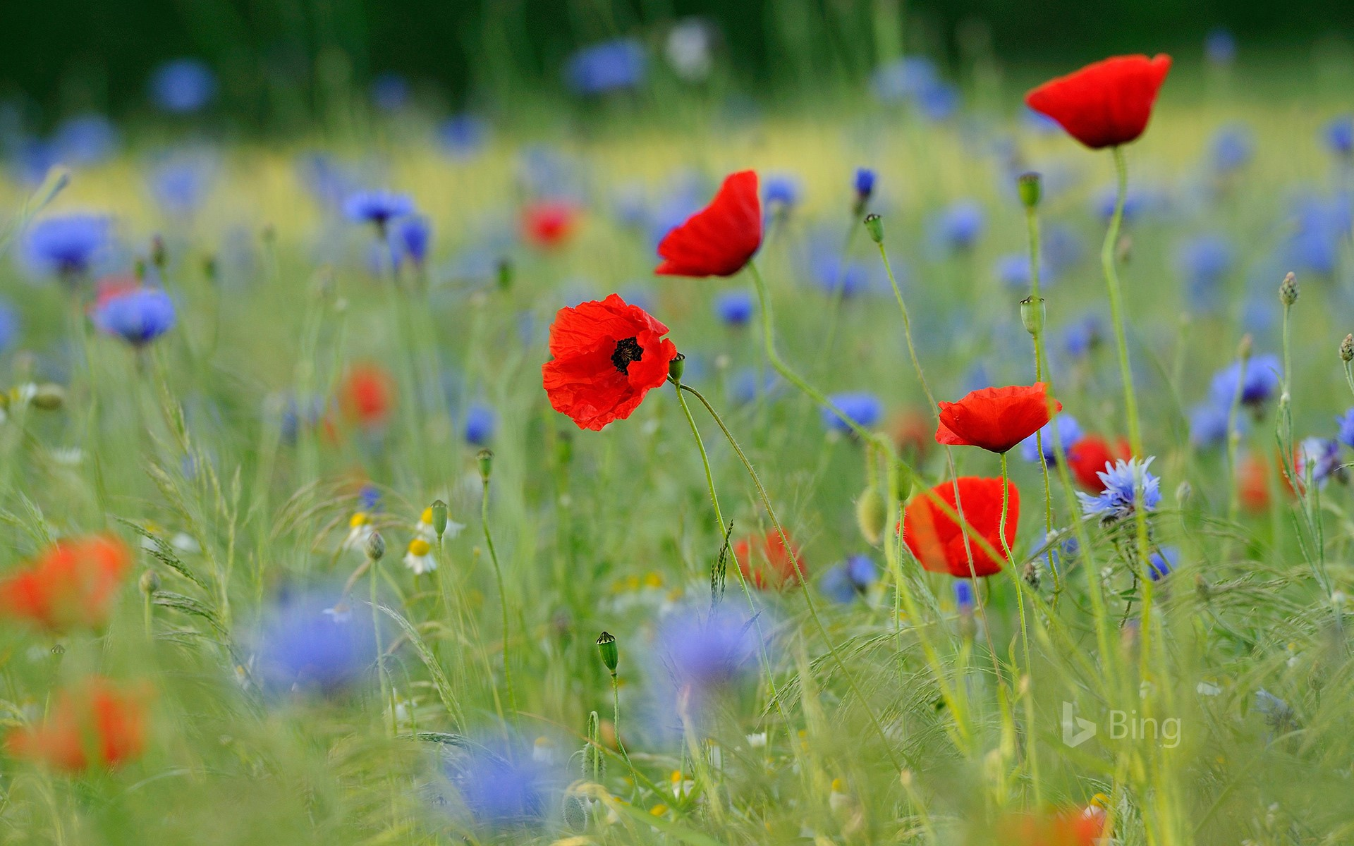 Meadow with common poppies and cornflowers, North Rhine-Westphalia, Germany