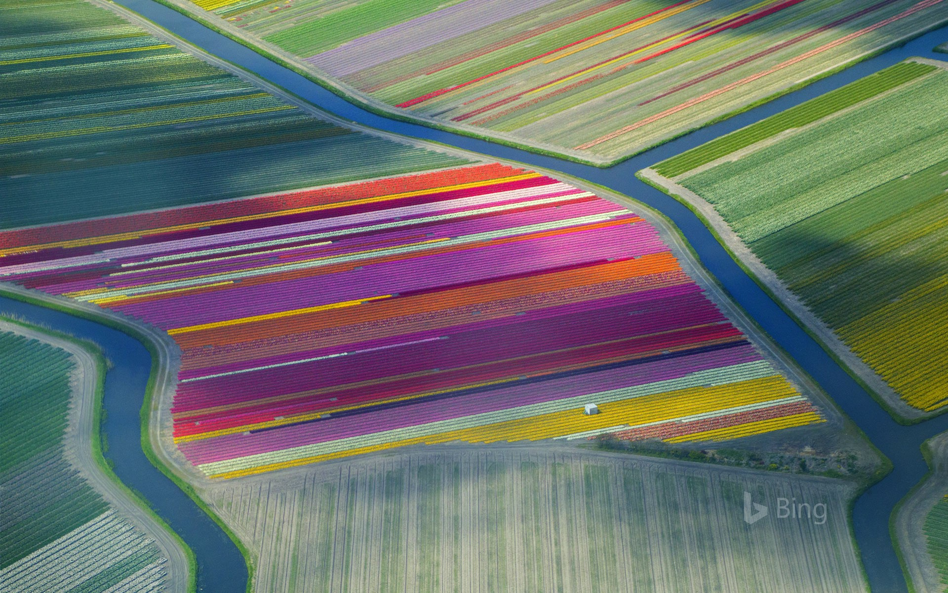 Tulip fields in the Duin- en Bollenstreek region, Netherlands (© Frans Sellies/Getty Images)