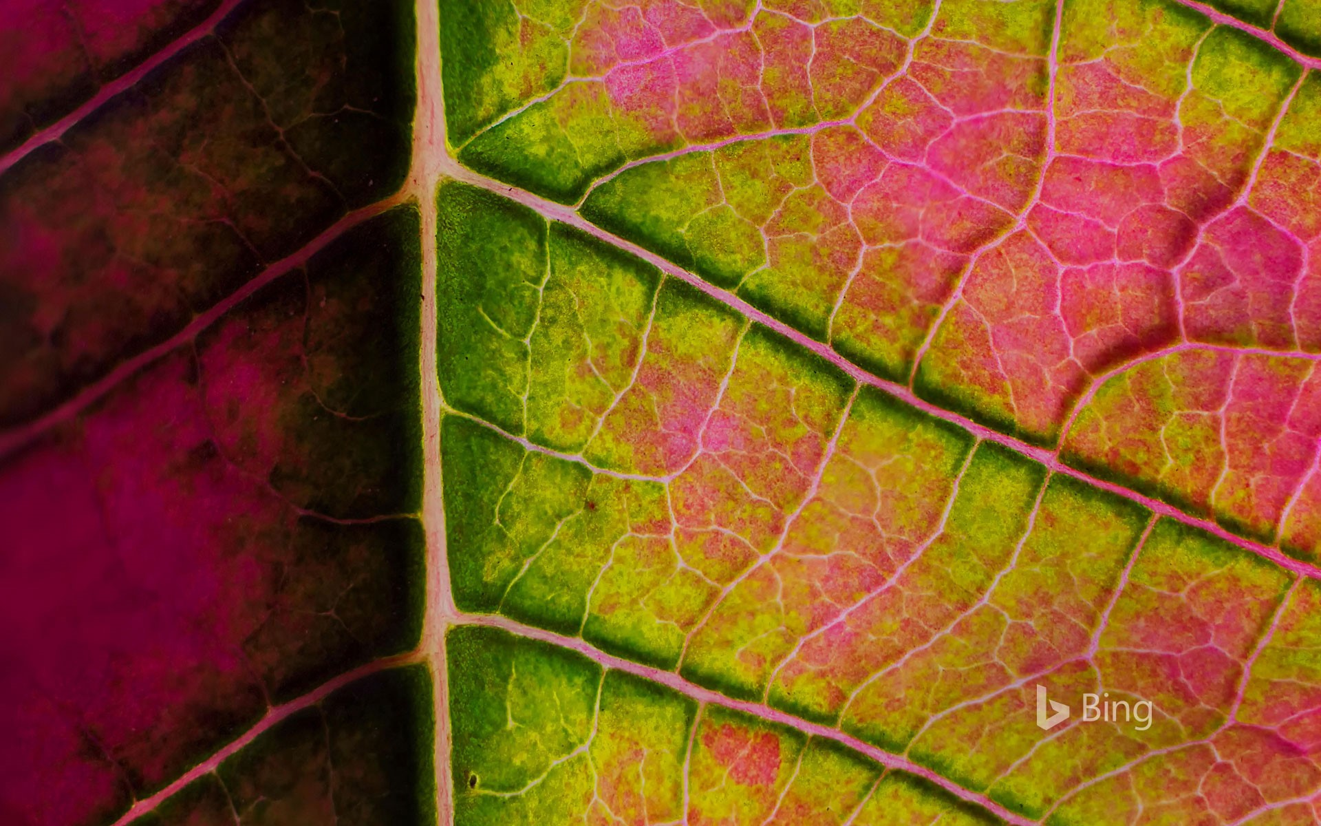 Poinsettia leaf close-up