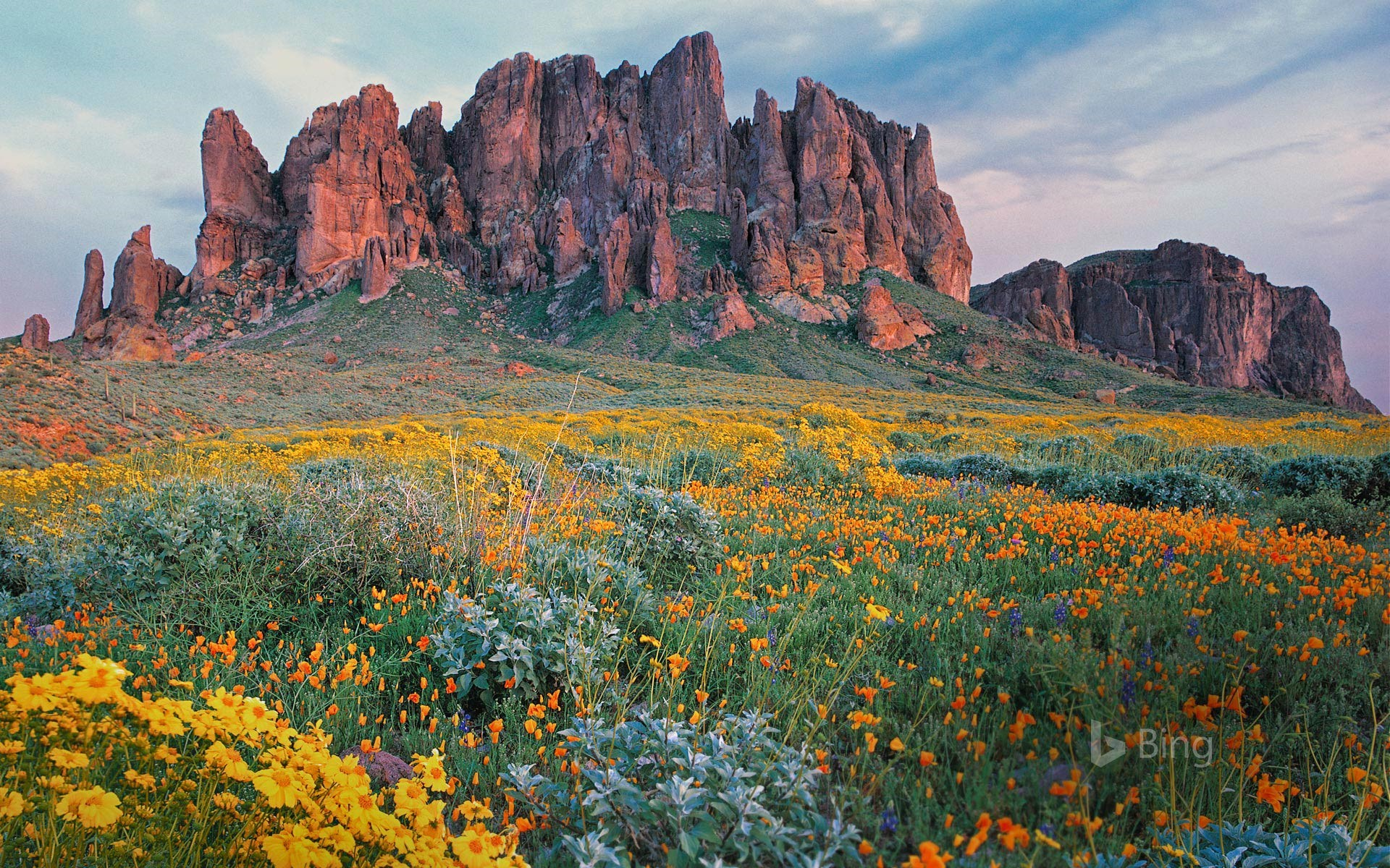 Wildflowers in bloom at Lost Dutchman State Park in Arizona