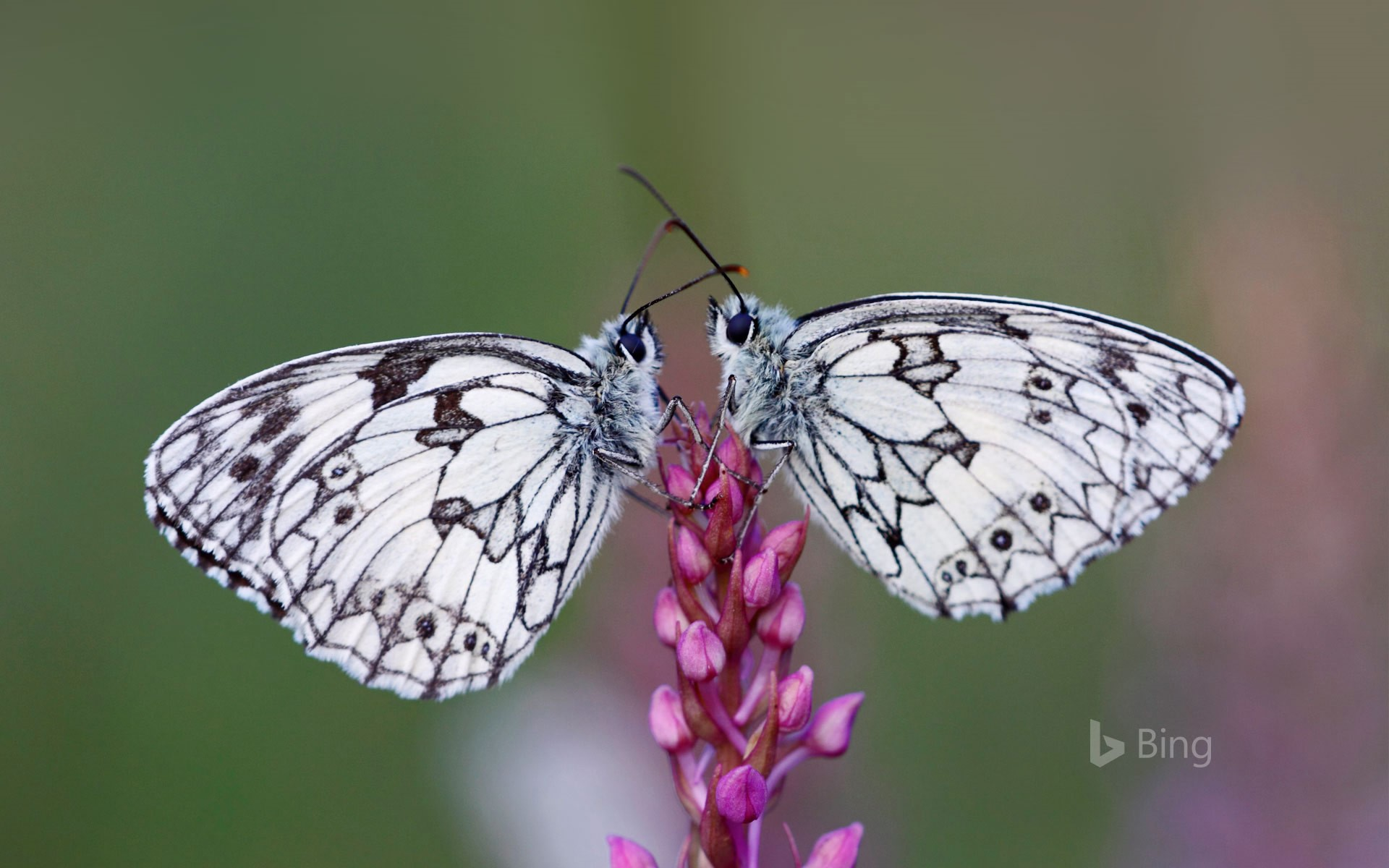 Marbled white butterflies, Alsace, France