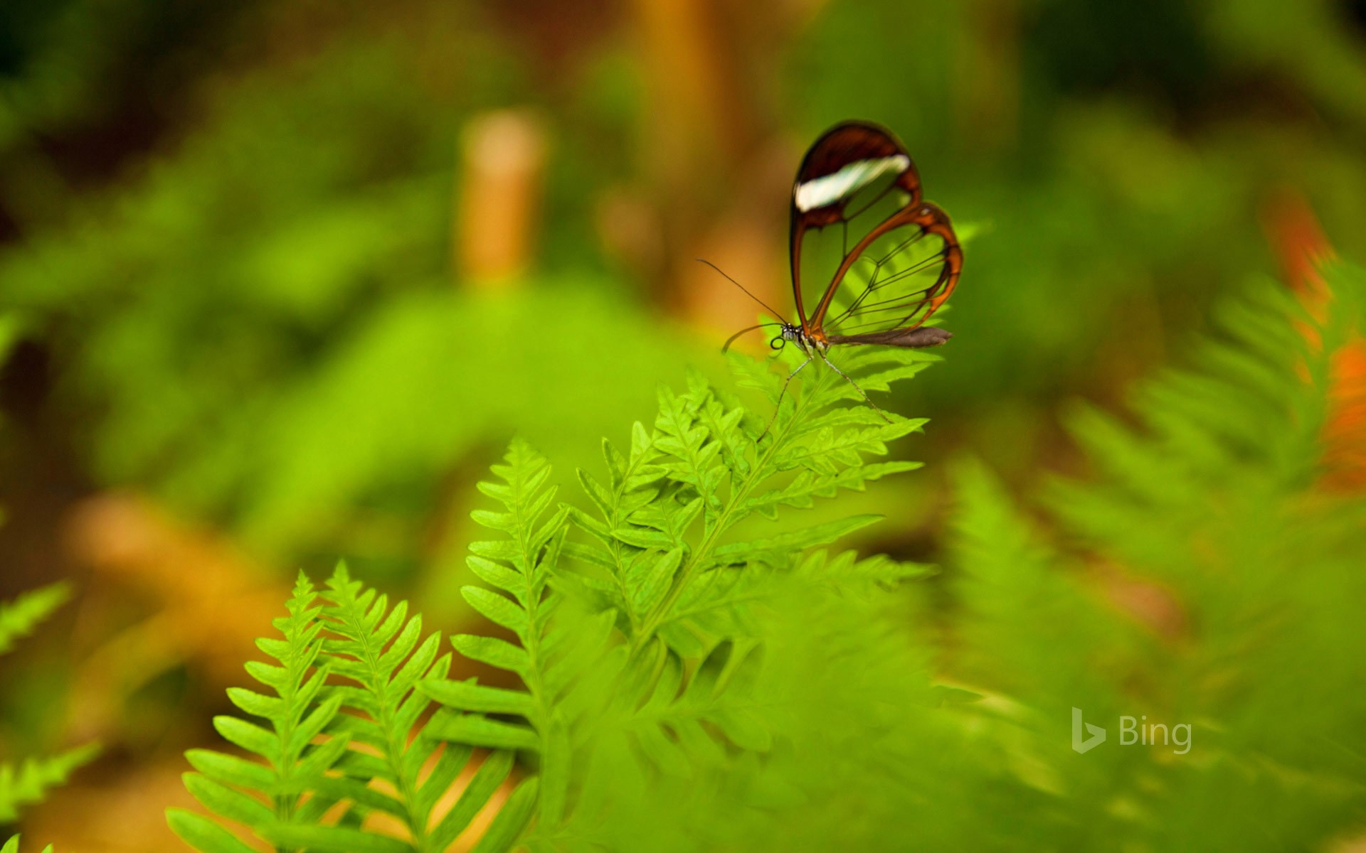 A glasswing butterfly perched on a leaf