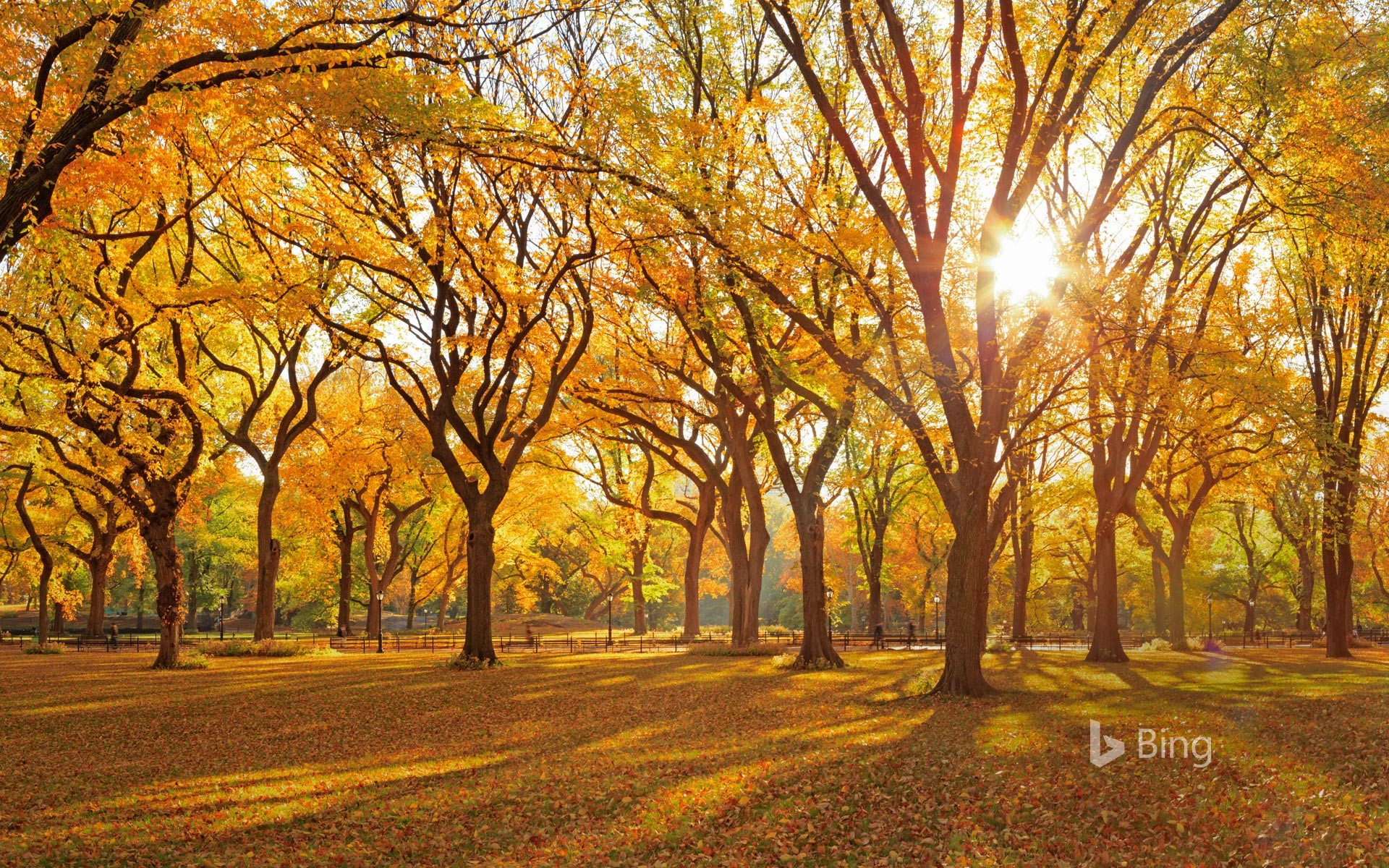 A grove of American elm trees at Central Park's Mall, New York City
