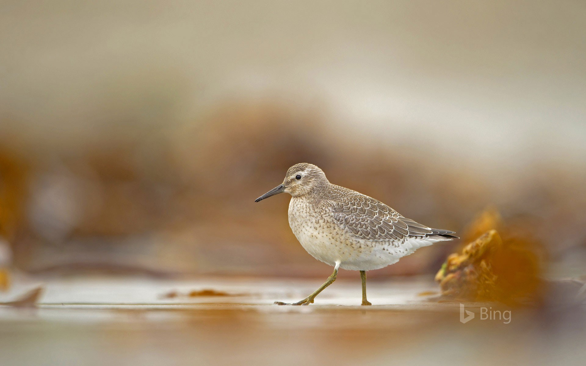 A red knot foraging on the Shetland Islands, Scotland