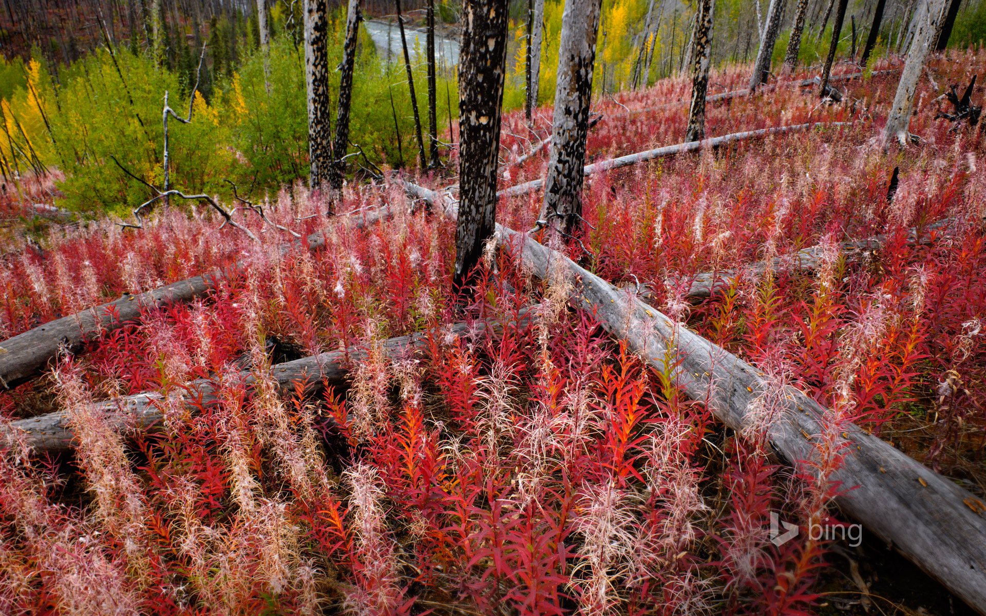 Fireweed reclaiming burned land near the Little Klappan River in British Columbia, Canada