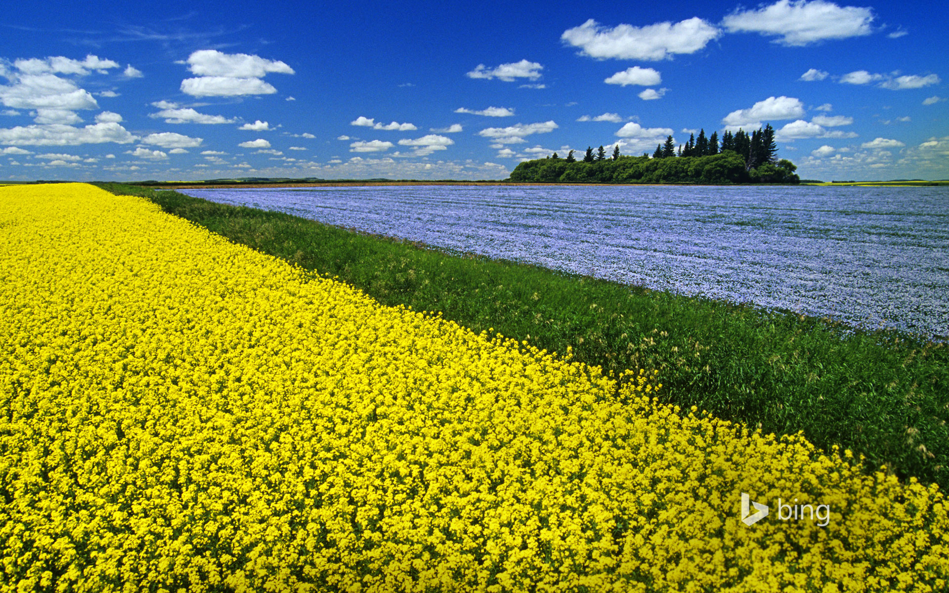 Flowering canola field with flax in the background and a sky filled with cumulus clouds, Tiger Hills near Somerset, Manitoba
