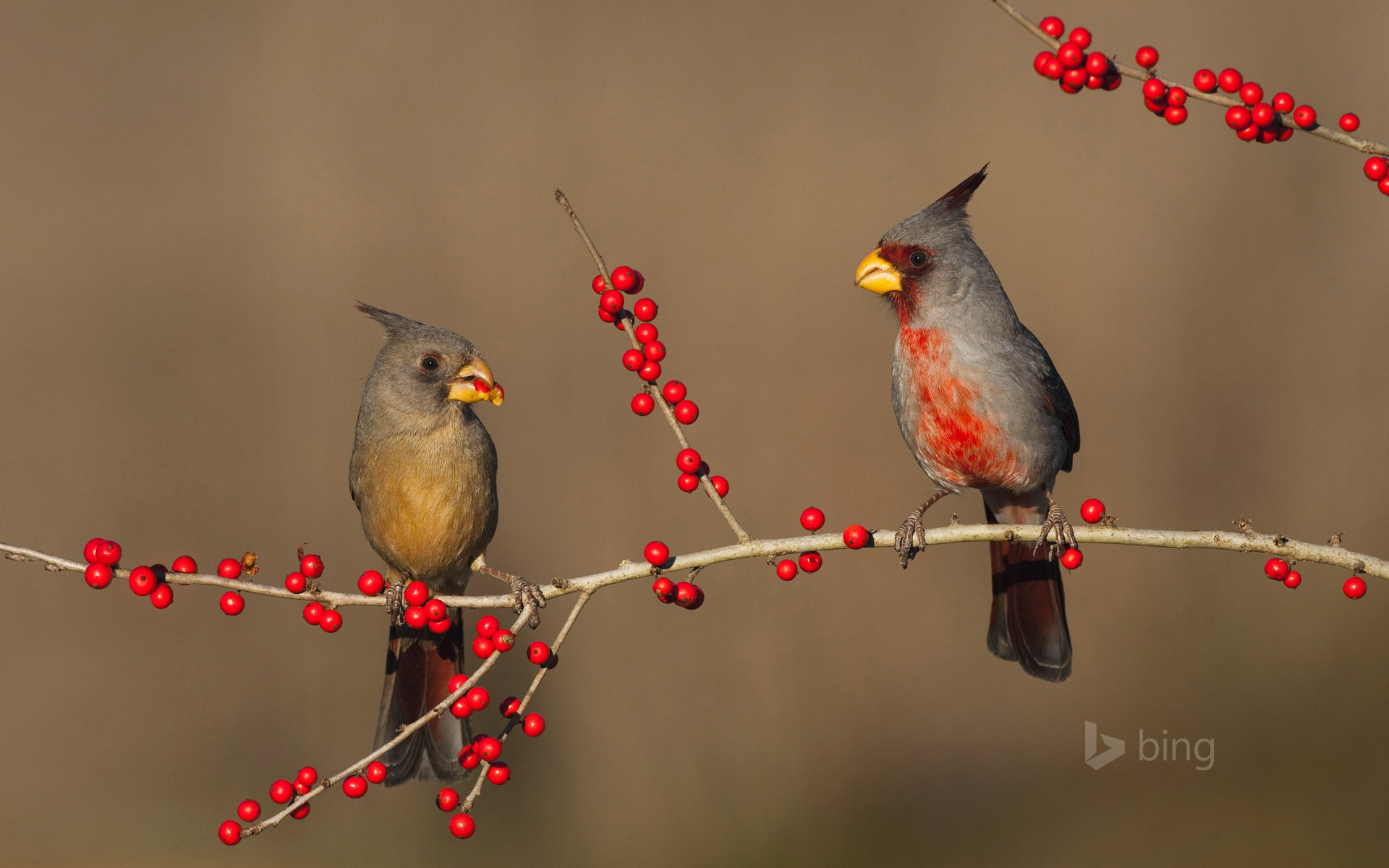 Desert cardinals eating possumhaw holly berries in Starr County, Texas