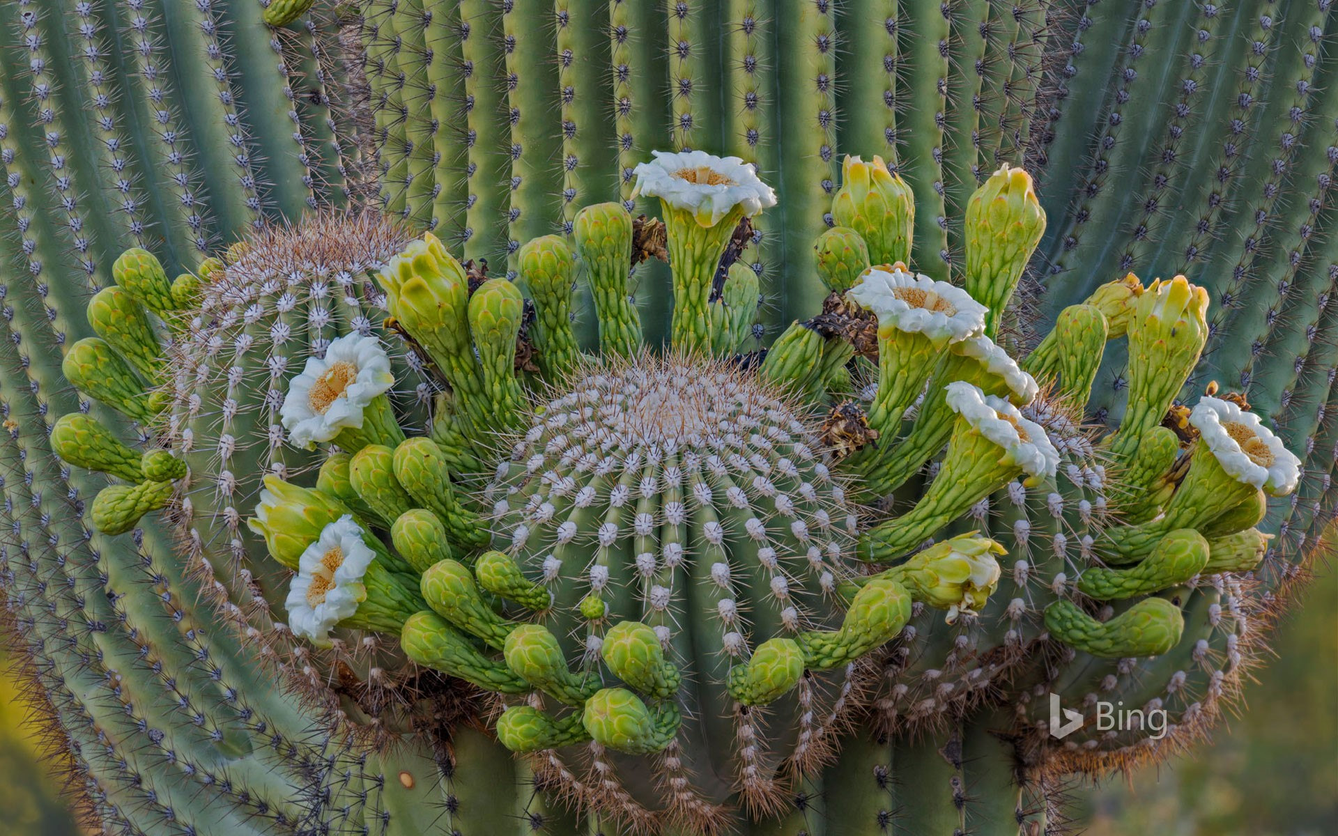 Saguaro cactus flowers, Coronado National Forest, Arizona, USA
