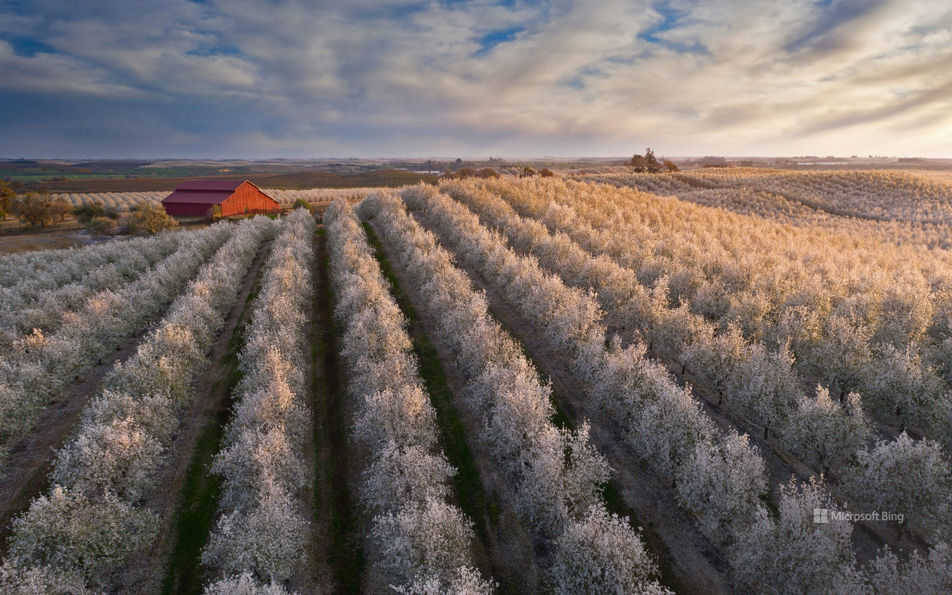 Flowering almond trees in California's Central Valley