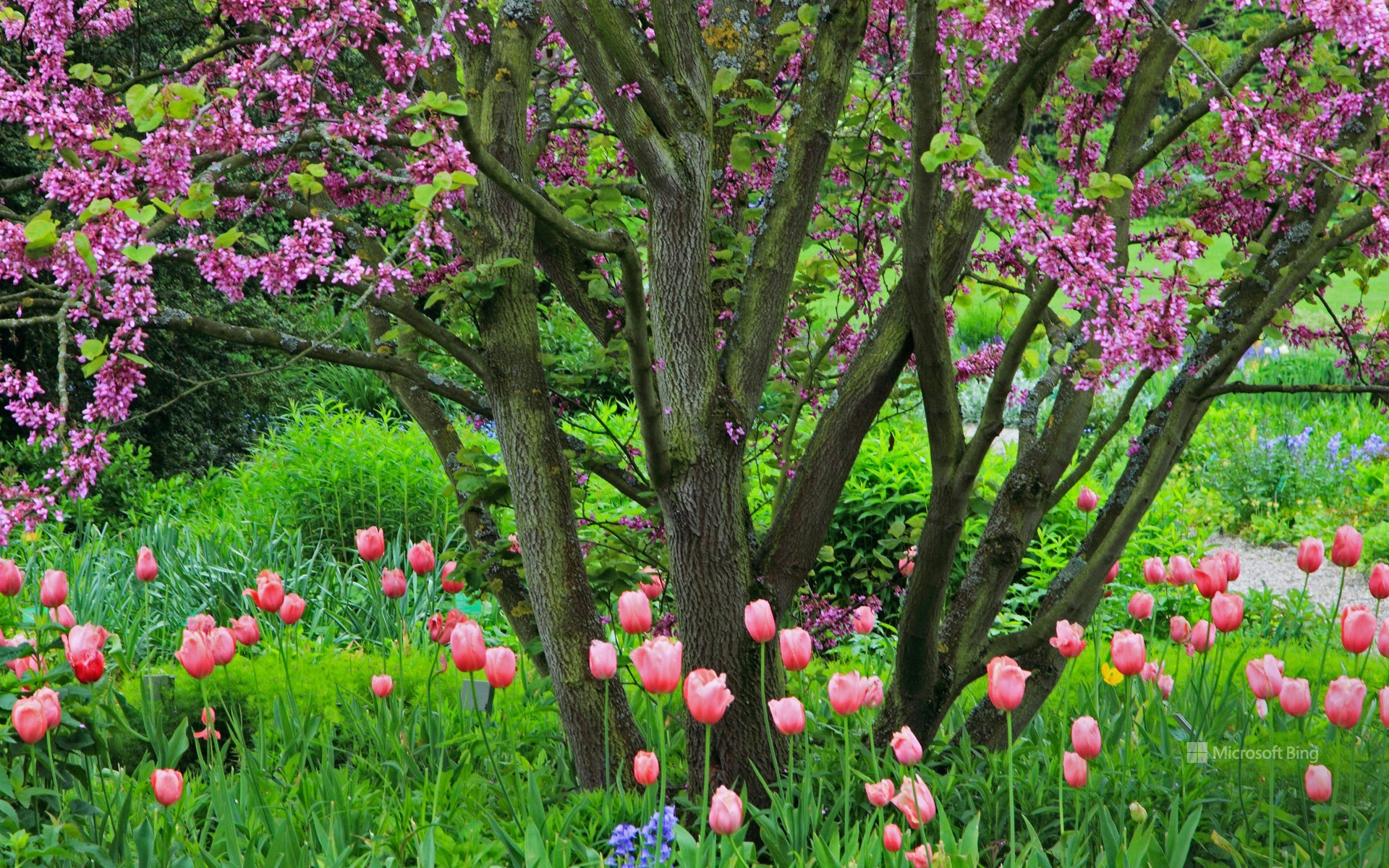Judas tree with tulips and Atlantic hare bells, Germany