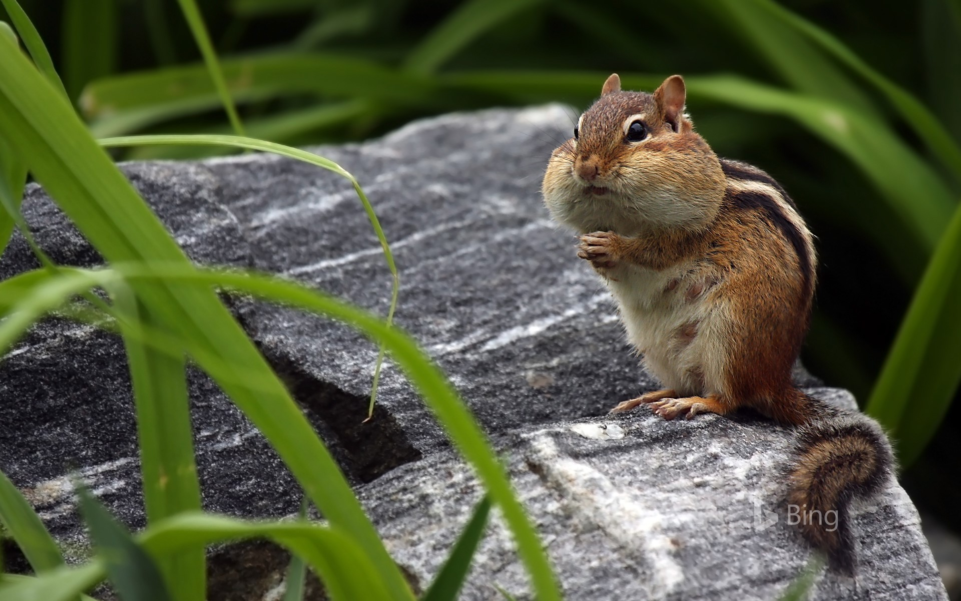 Chipmunk storing food in its cheeks (© mlorenzphotography/Getty Images)