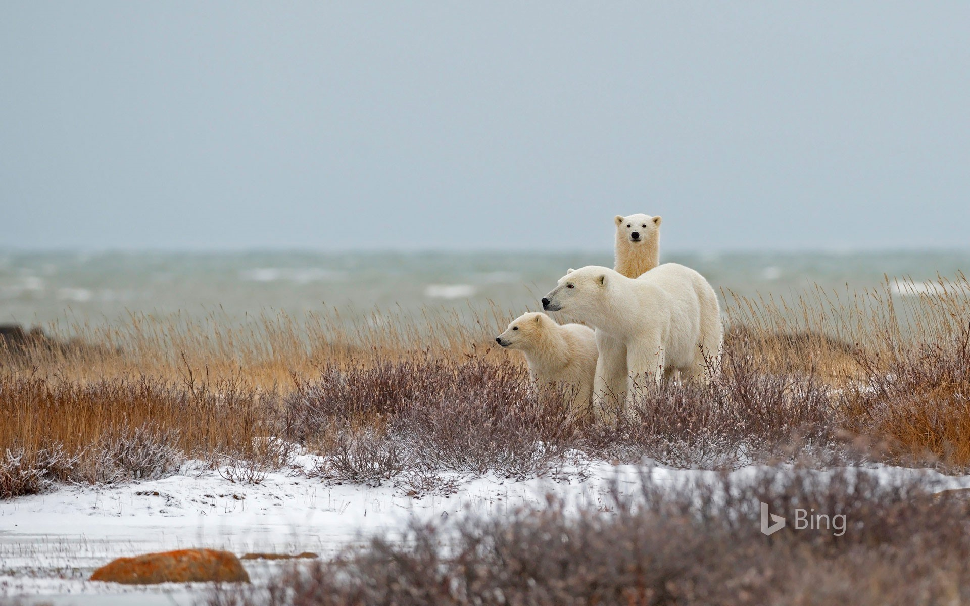 A polar bear family near the Hudson Bay in Churchill, Manitoba, Canada