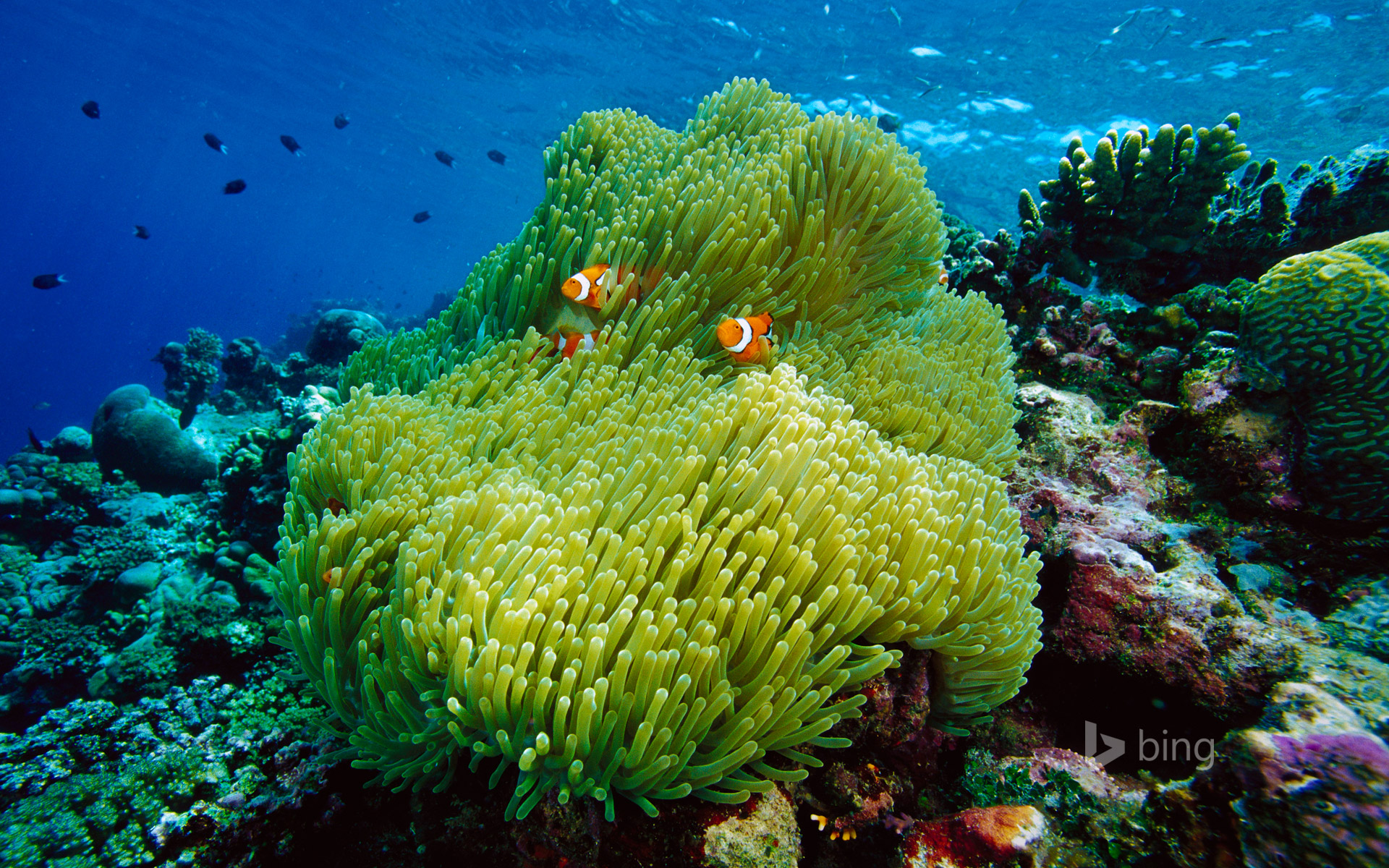Magnificent sea anemone with black-finned clownfish