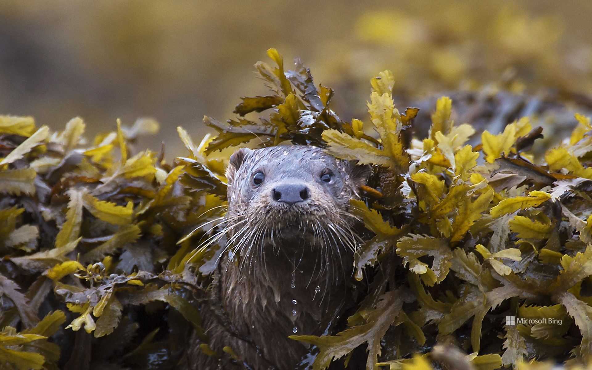 Otter (Lutra Lutra) in seaweed, Ardnamurchan.