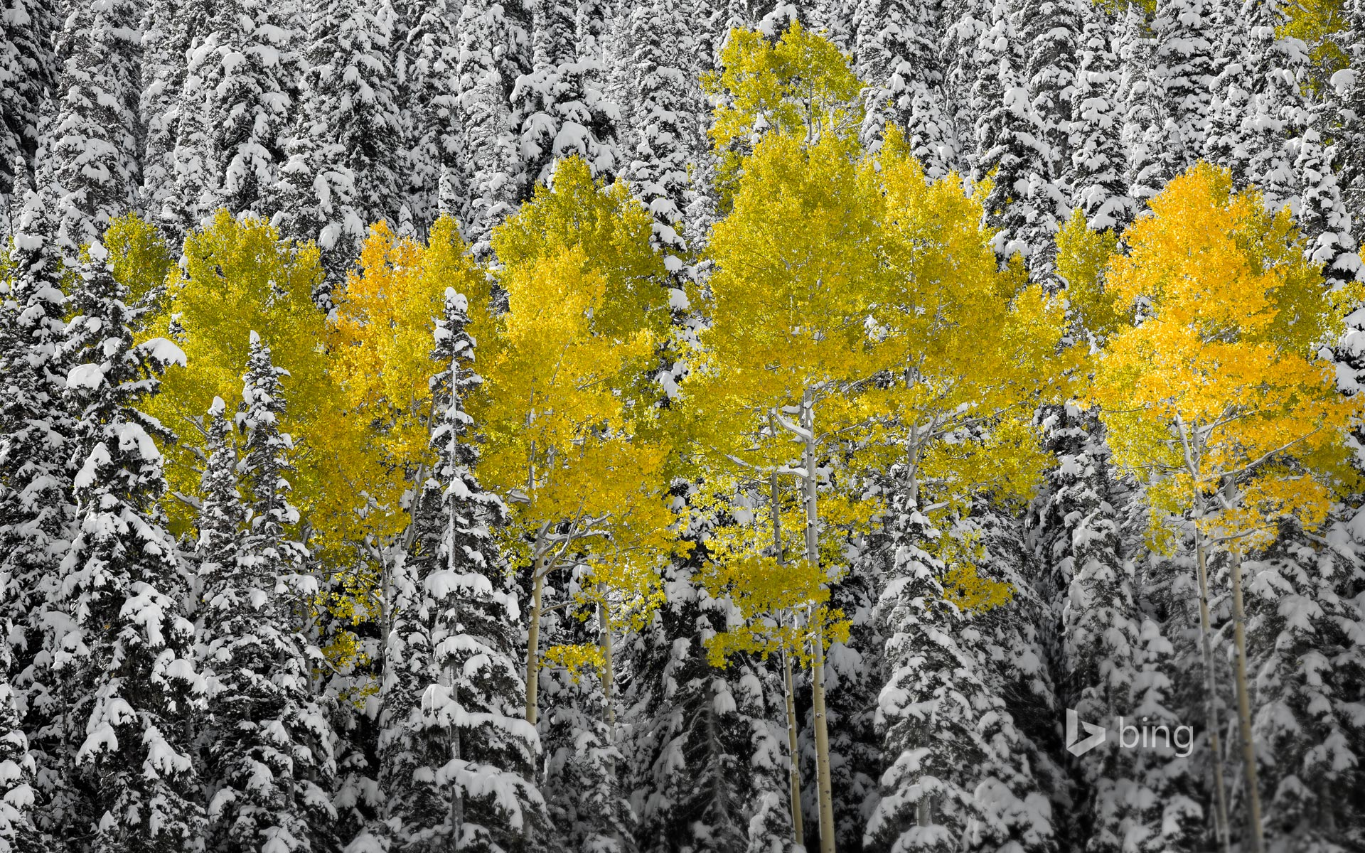 Aspen trees in autumn foliage, San Juan Mountains near Telluride, Colorado