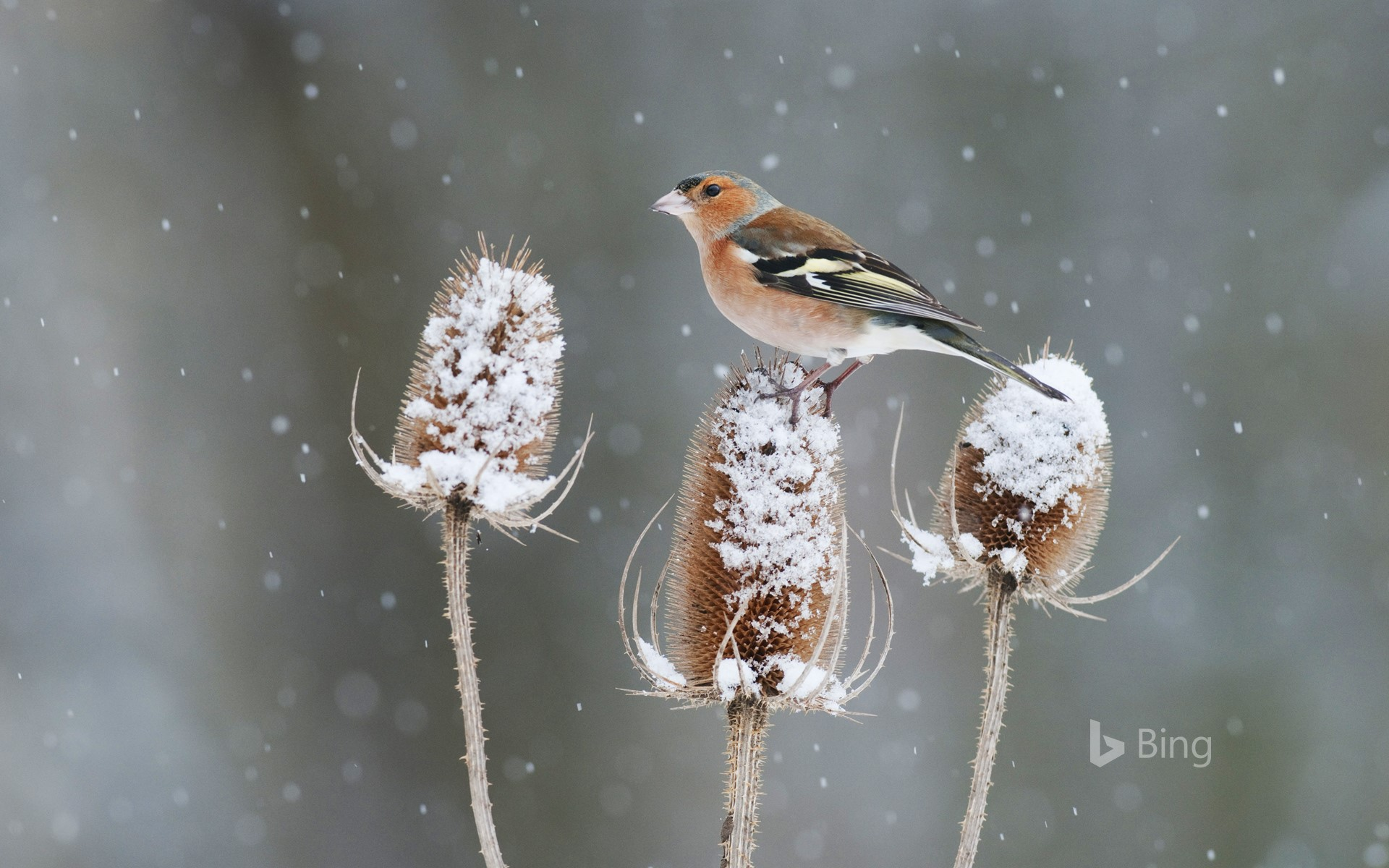 A chaffinch perched on a snow-covered teasel in Kent, England